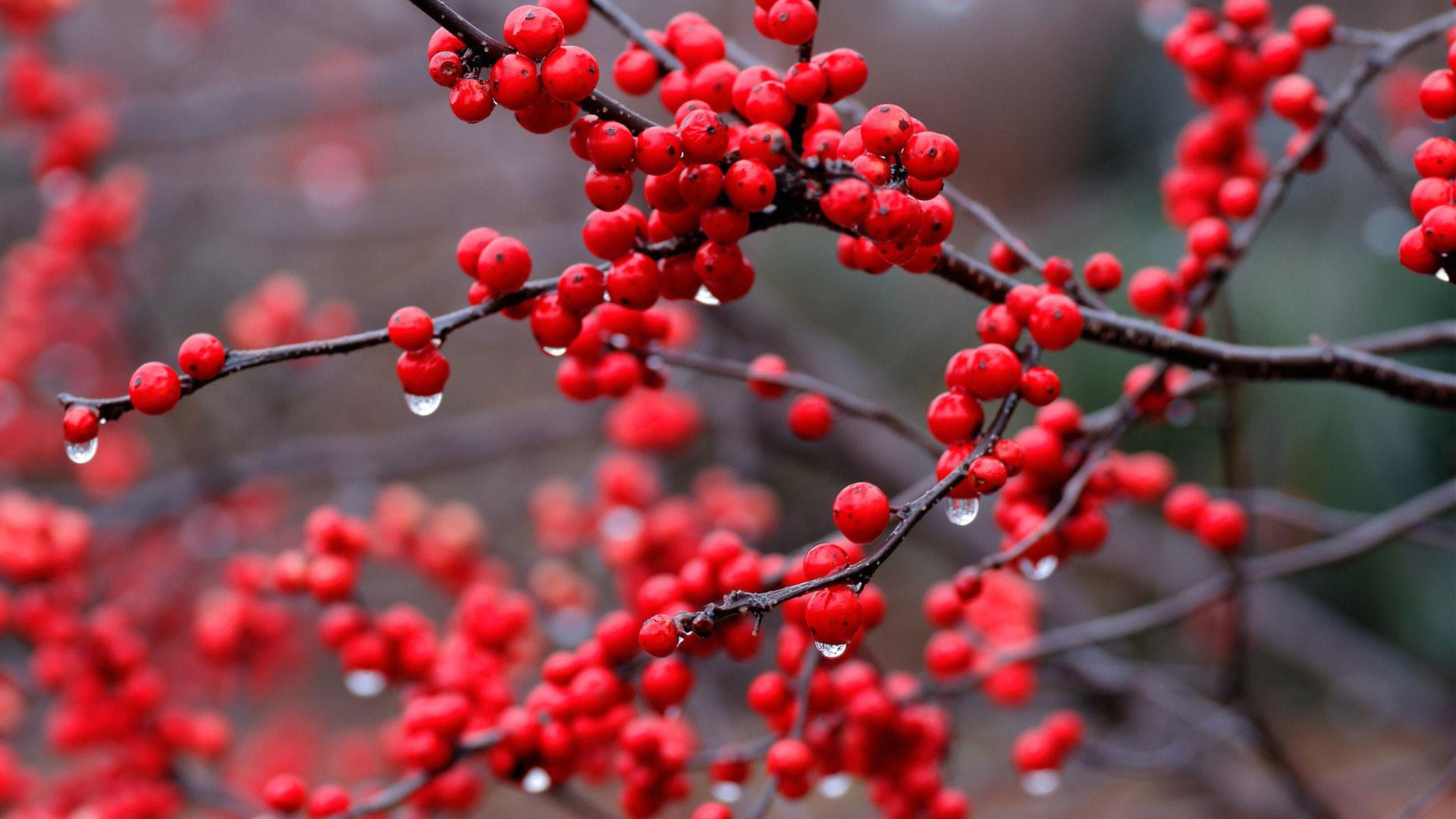 hd pics photos fruits red berries in nature desktop background wallpaper