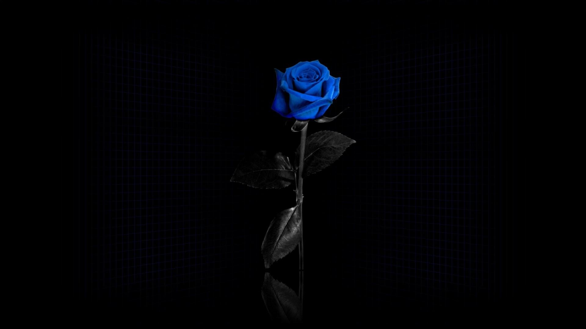 Download Wallpaper rose, flower, blue, black .
