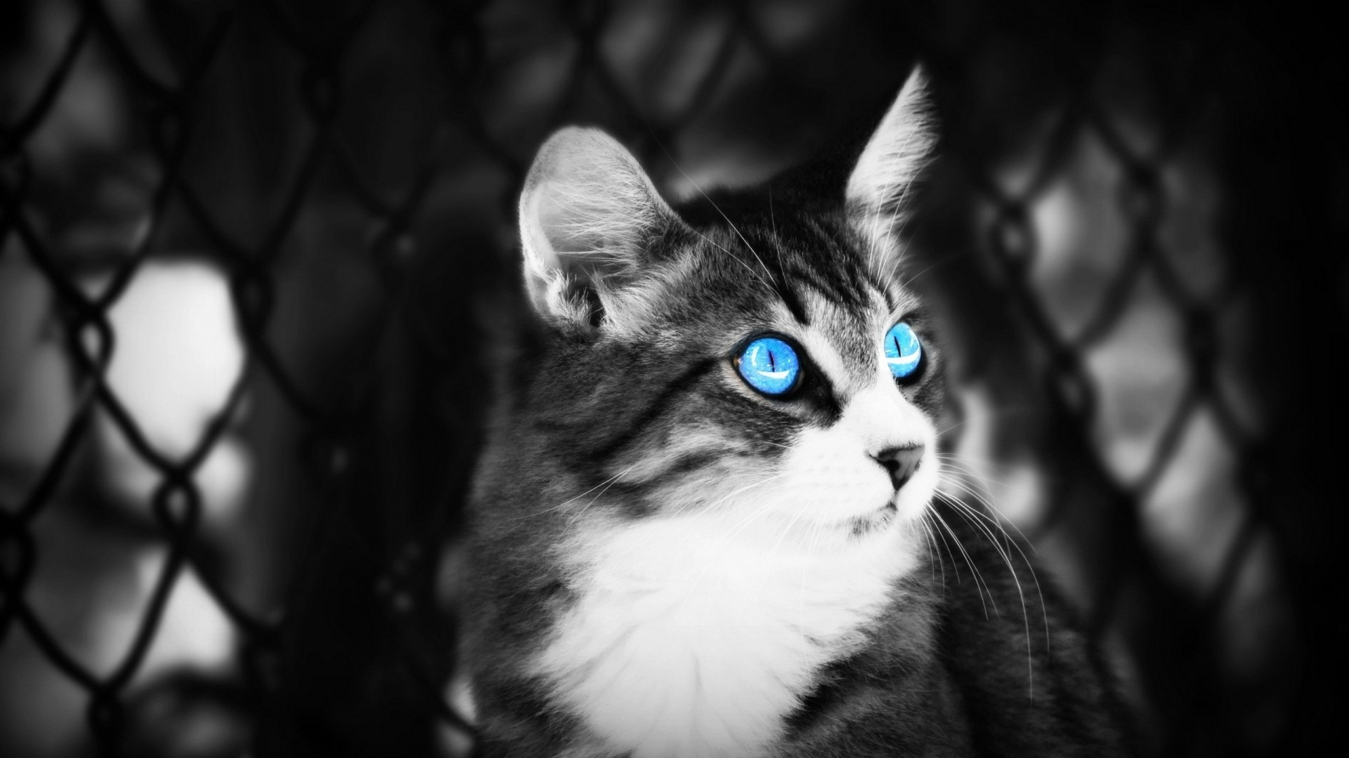 Blue Eyes Cat Black and White HD Wallpaper