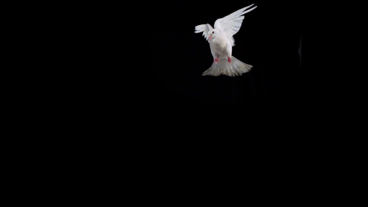Subscription Library White bird flapping on black background, Slow Motion