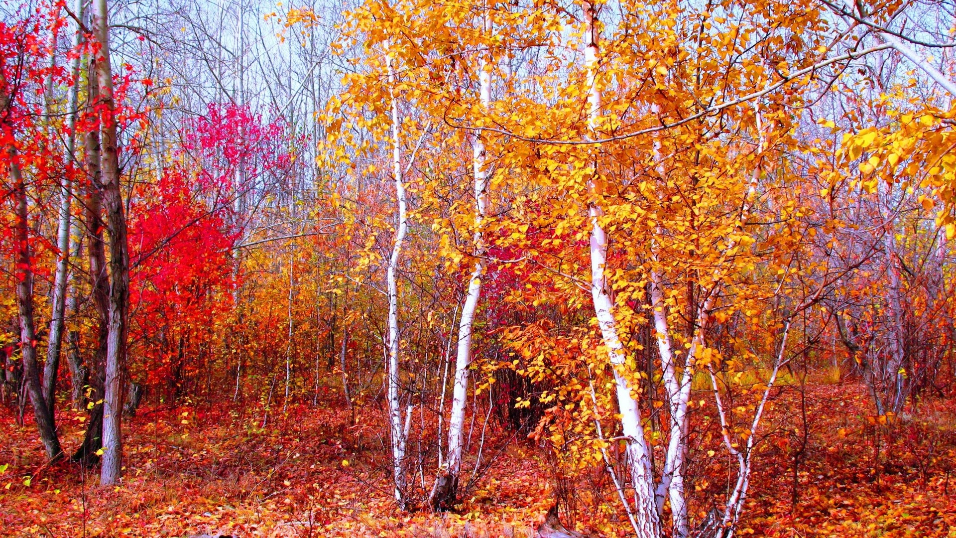 Preview wallpaper crimson, gold, red, autumn, nature, trees, leaves,