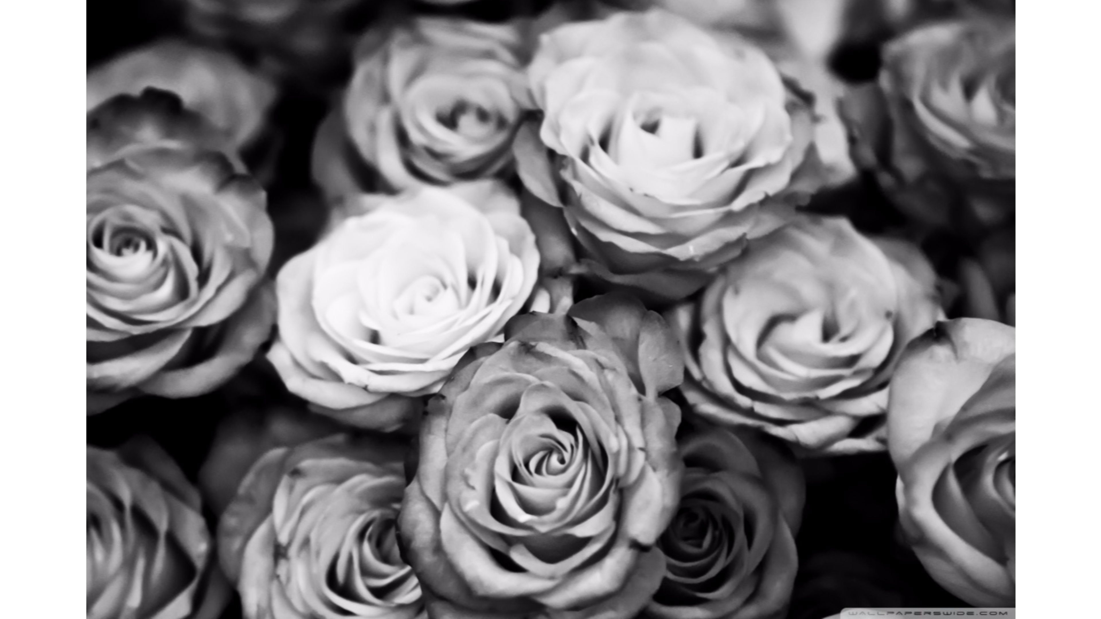 Black Rose Wallpapers – Full HD wallpaper search