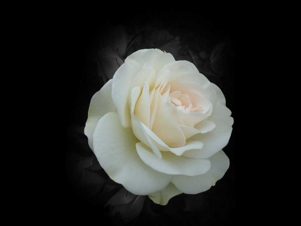 White Rose Widescreen