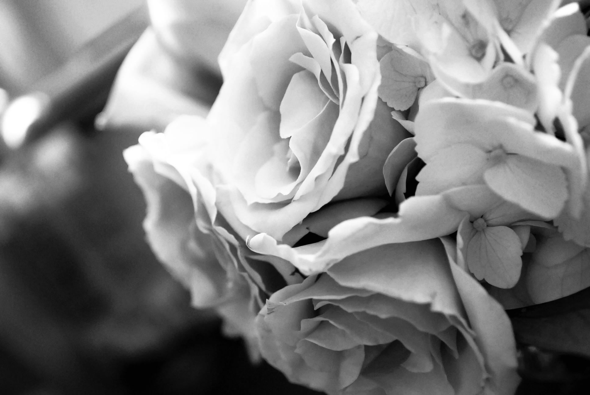 Black and white rose flower wallpaper.