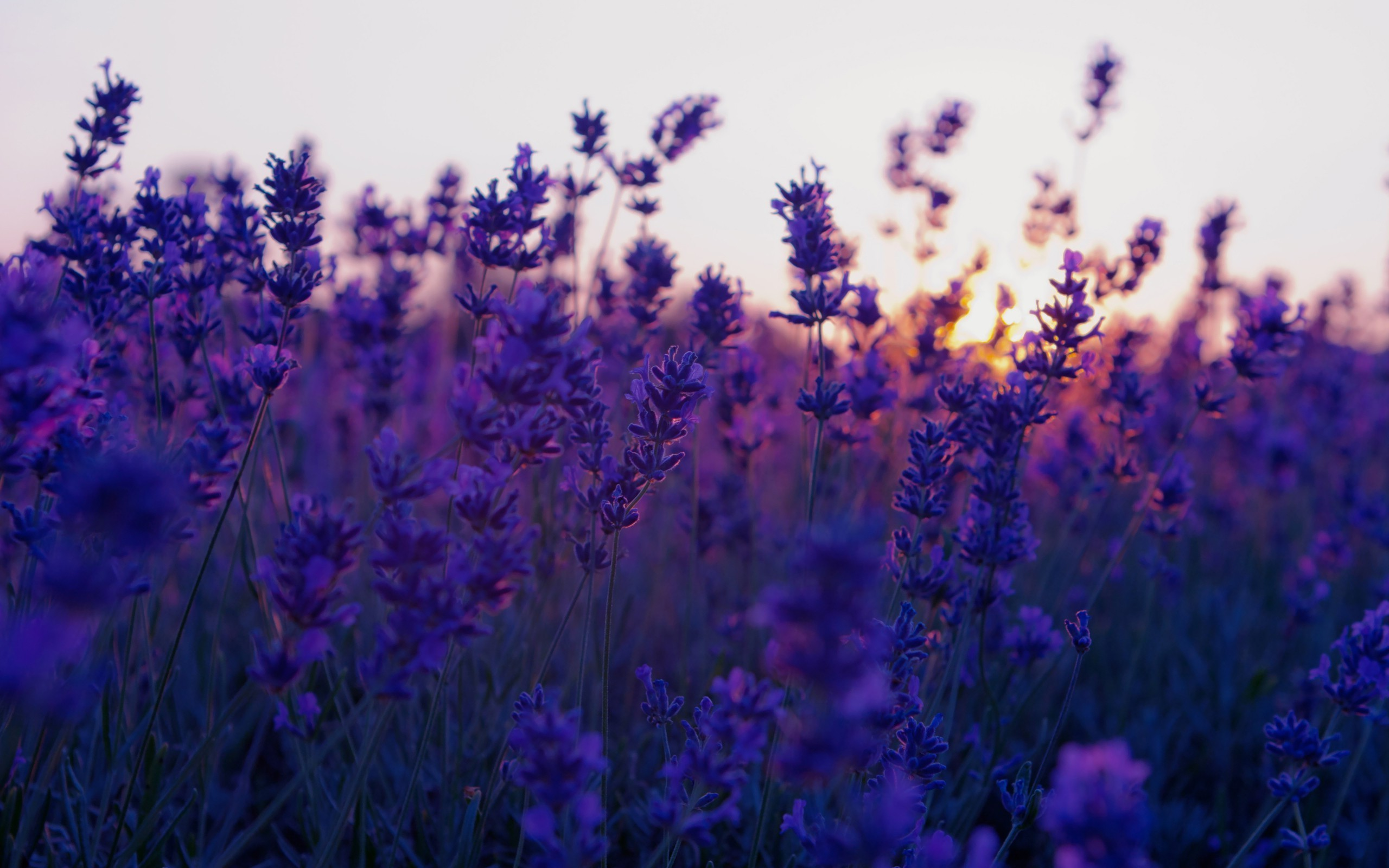 wallpaper.wiki-Lavender-Flower-HD-Background-PIC-WPE004729