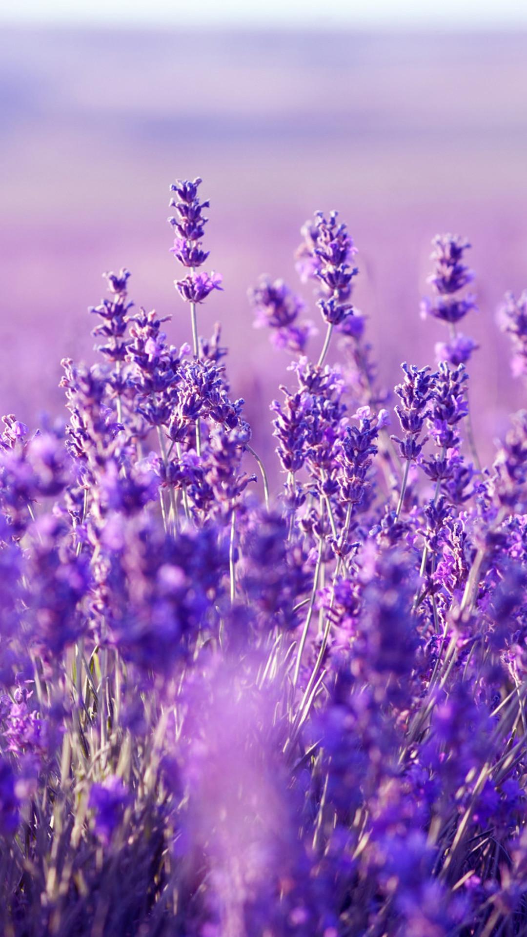 Beautiful Lavender Wallpaper: HD Lavender Mobile Background –  https://helpyourselfimages.com