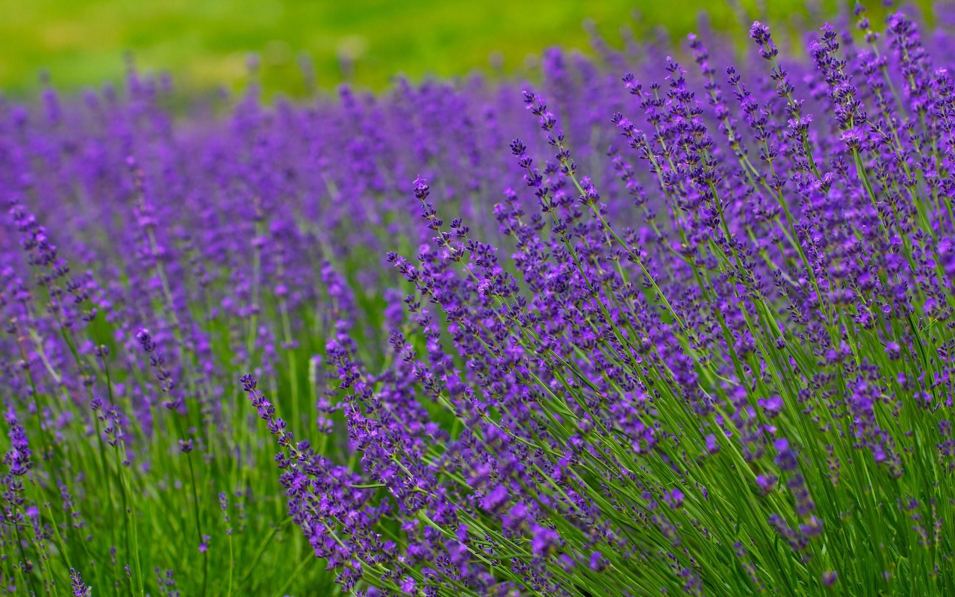 Lavender field hd wallpaper background HD Wallpapers