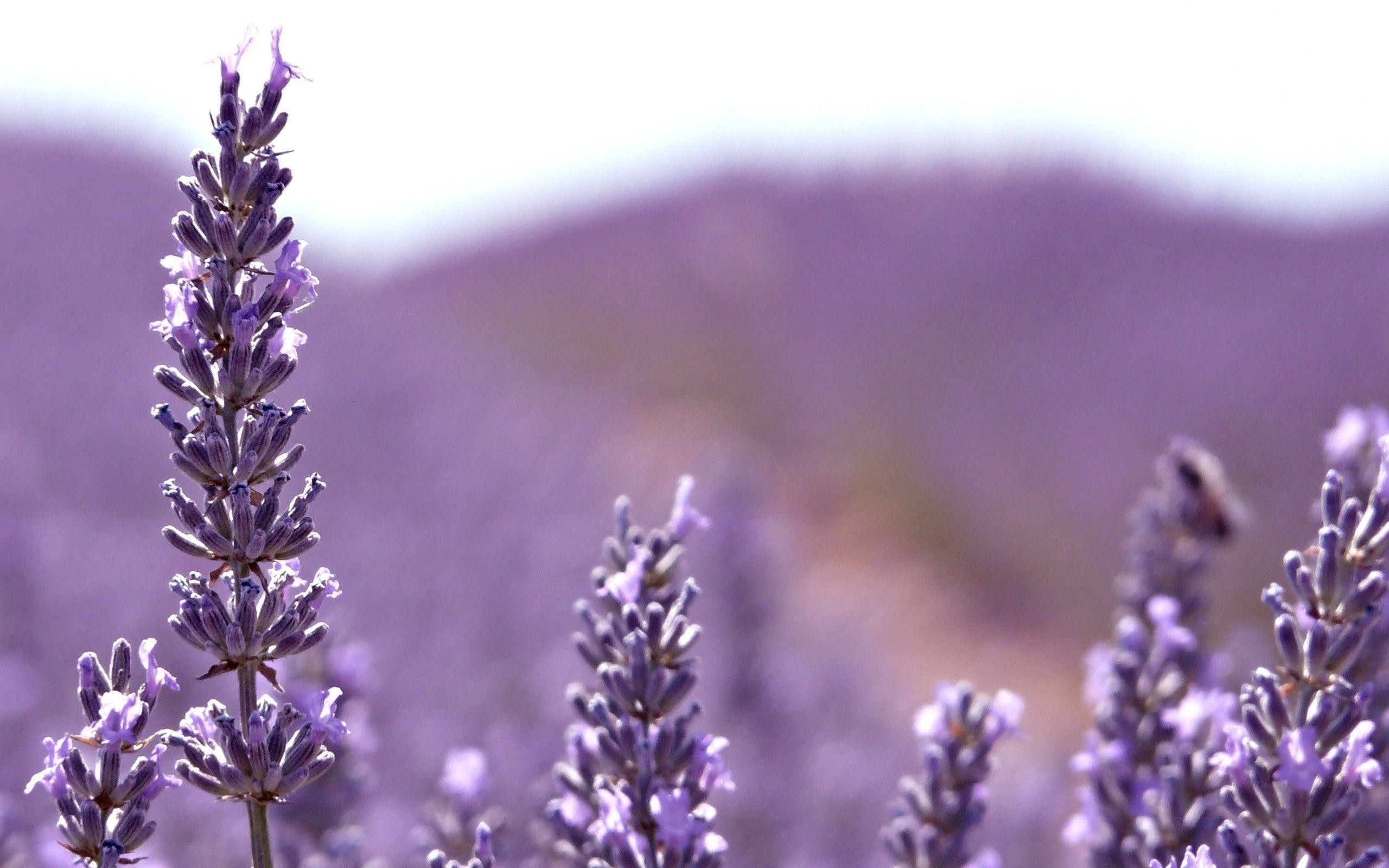 Lavender Flower Background Hd Images 3 HD Wallpapers | aduphoto.