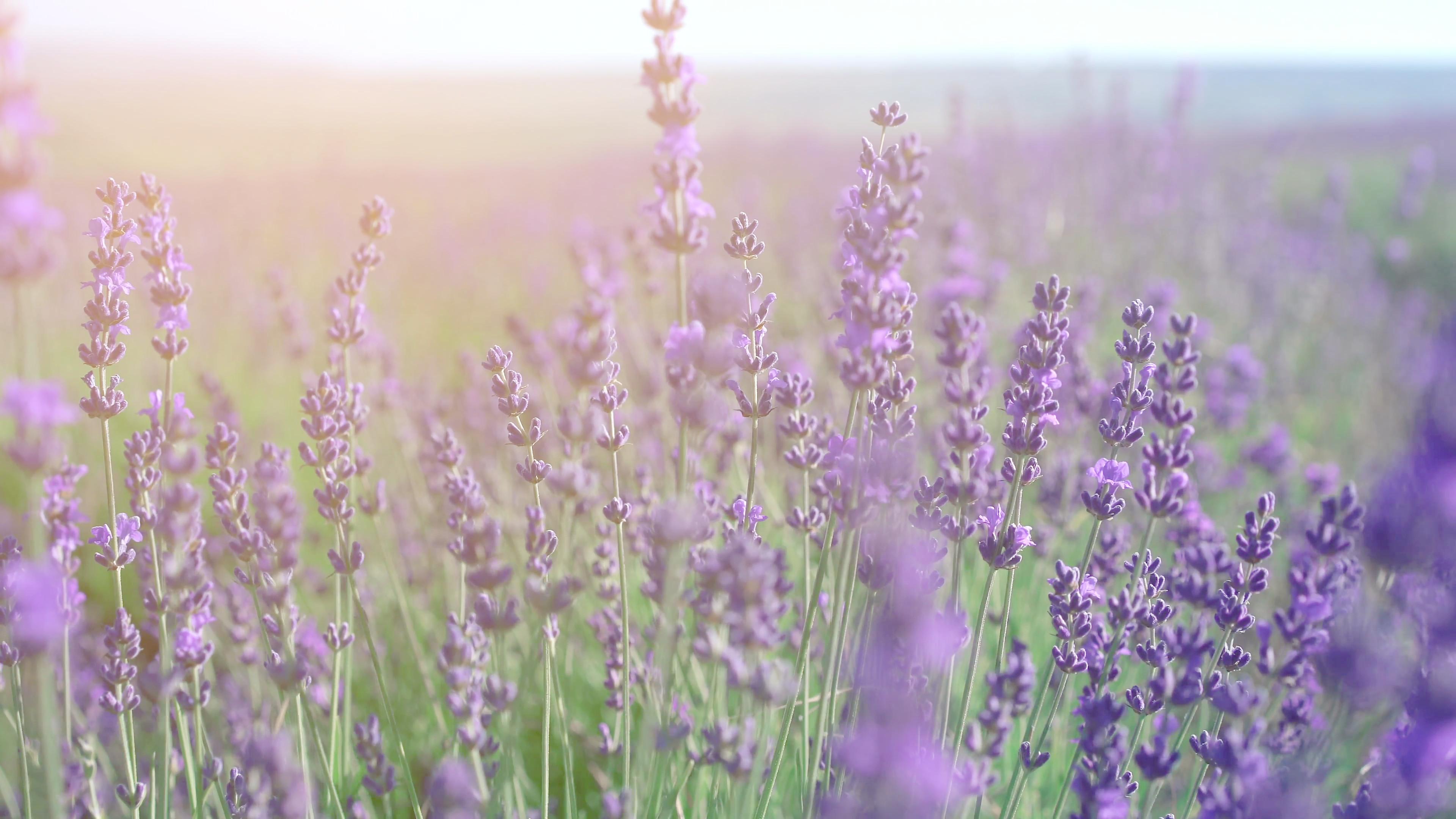 Lavender field in Crimea. Lavandula flowers swaying