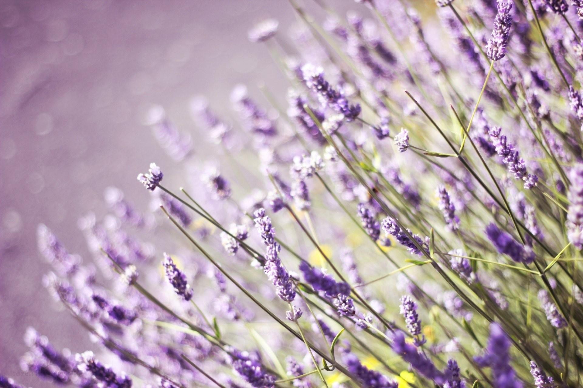 lavender flower field purple grass the field