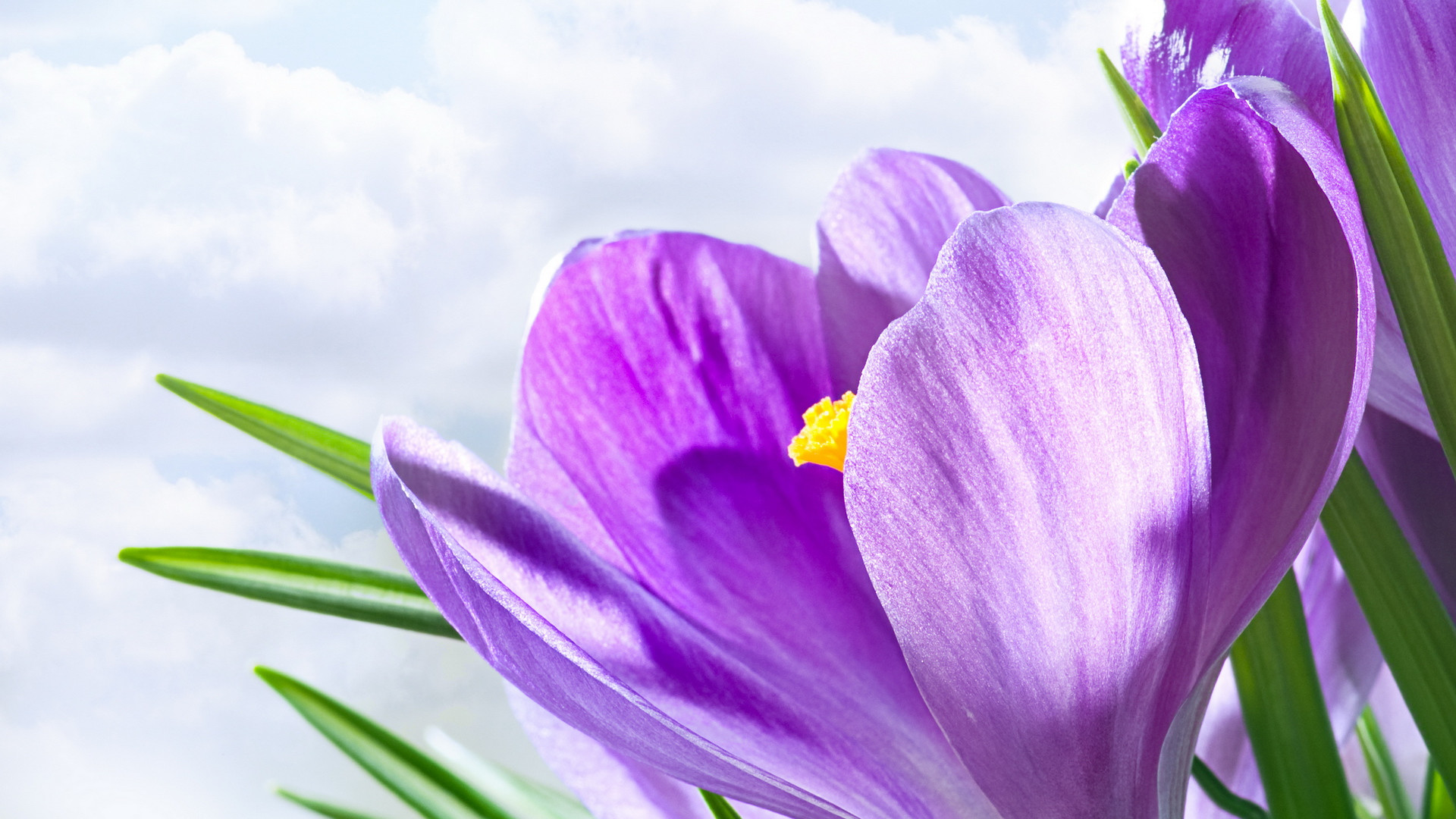 Lavender Color Flower Background Hearts Wallpapers 1920x1080px