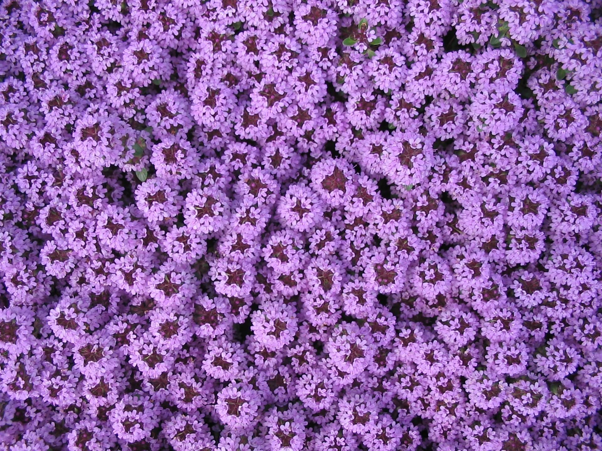 Free Images : blossom, flower, purple, bloom, spring, herb, blue, flora,  background, violet, beautiful, pretty, blossomed, garden design, carpet of  flowers, …