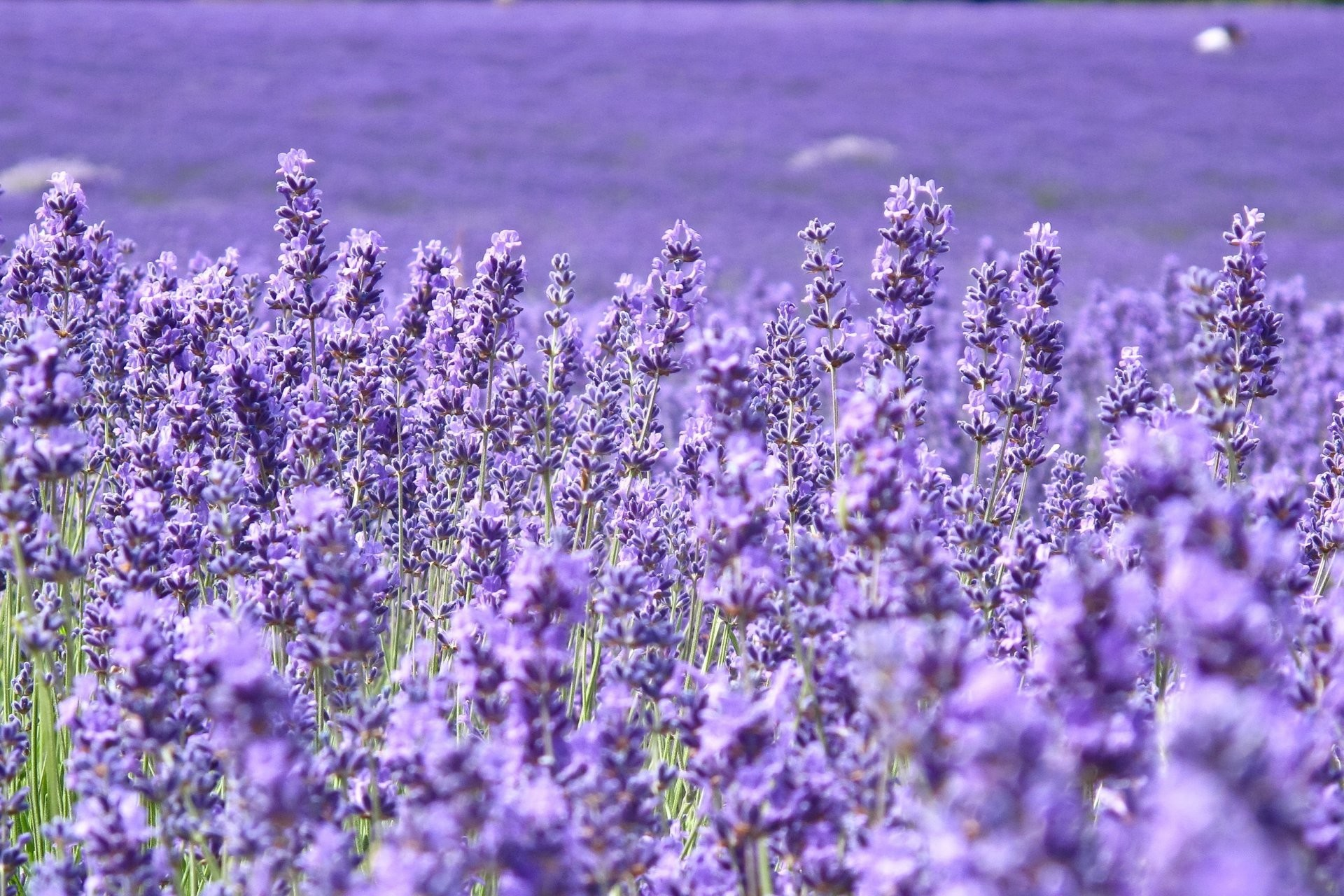 flower flowers lavender purple the field of the field blur background  wallpaper widescreen full screen widescreen