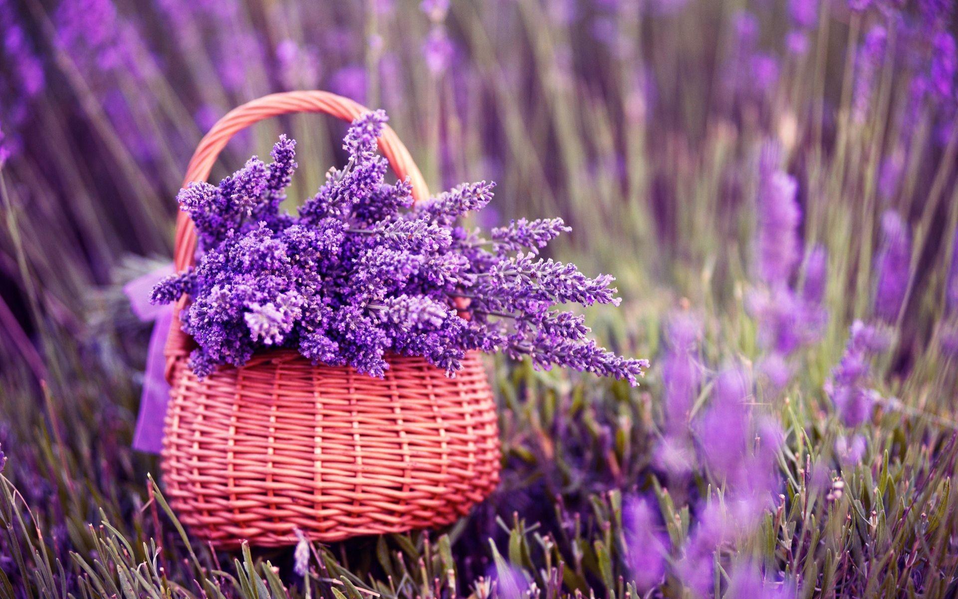 Fresh Lavender Flowers On Pink Background Stock Images Image Lavender  Flower Backgrounds Wallpapers)