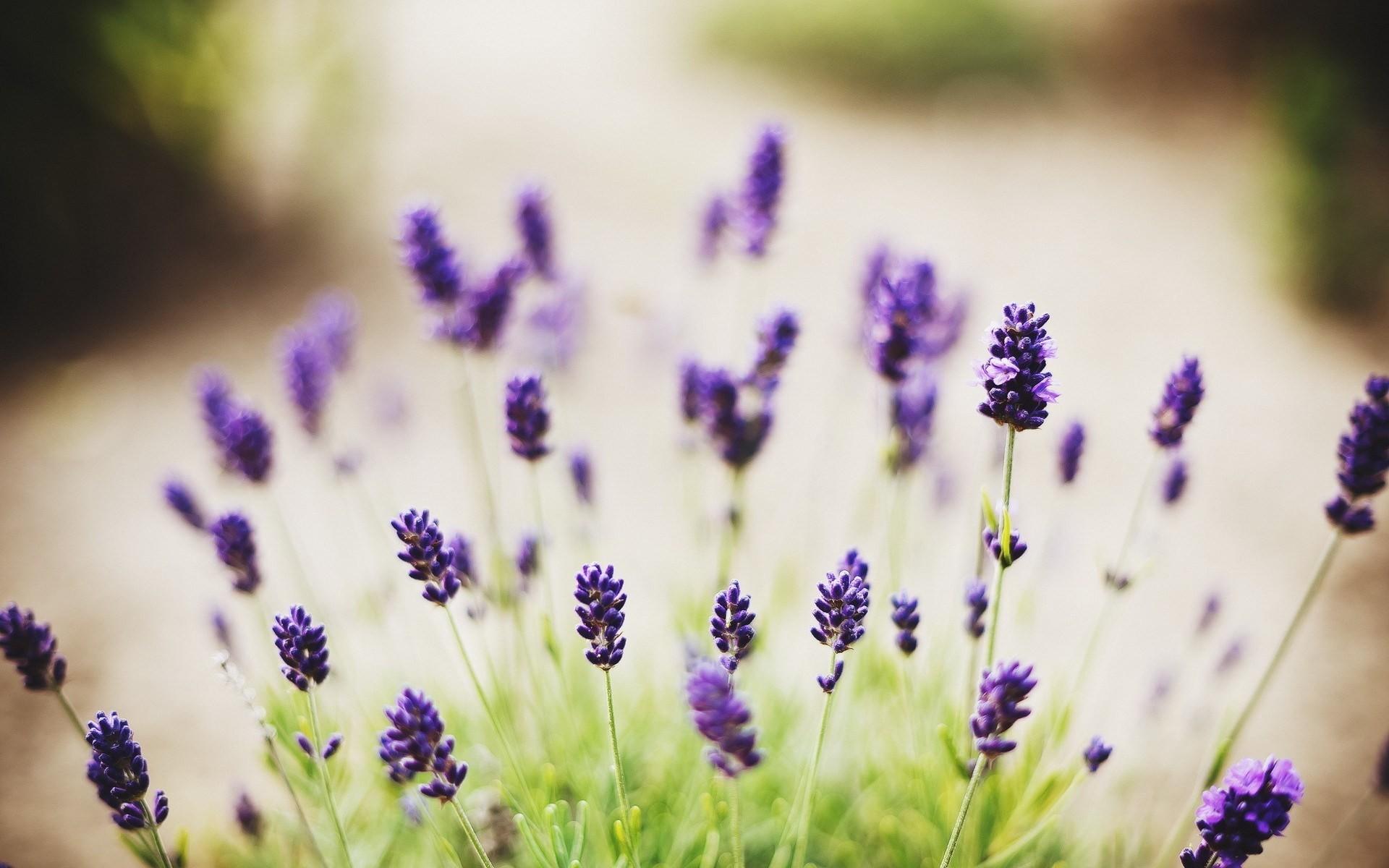 Lavender Flower Desktop Wallpapers.