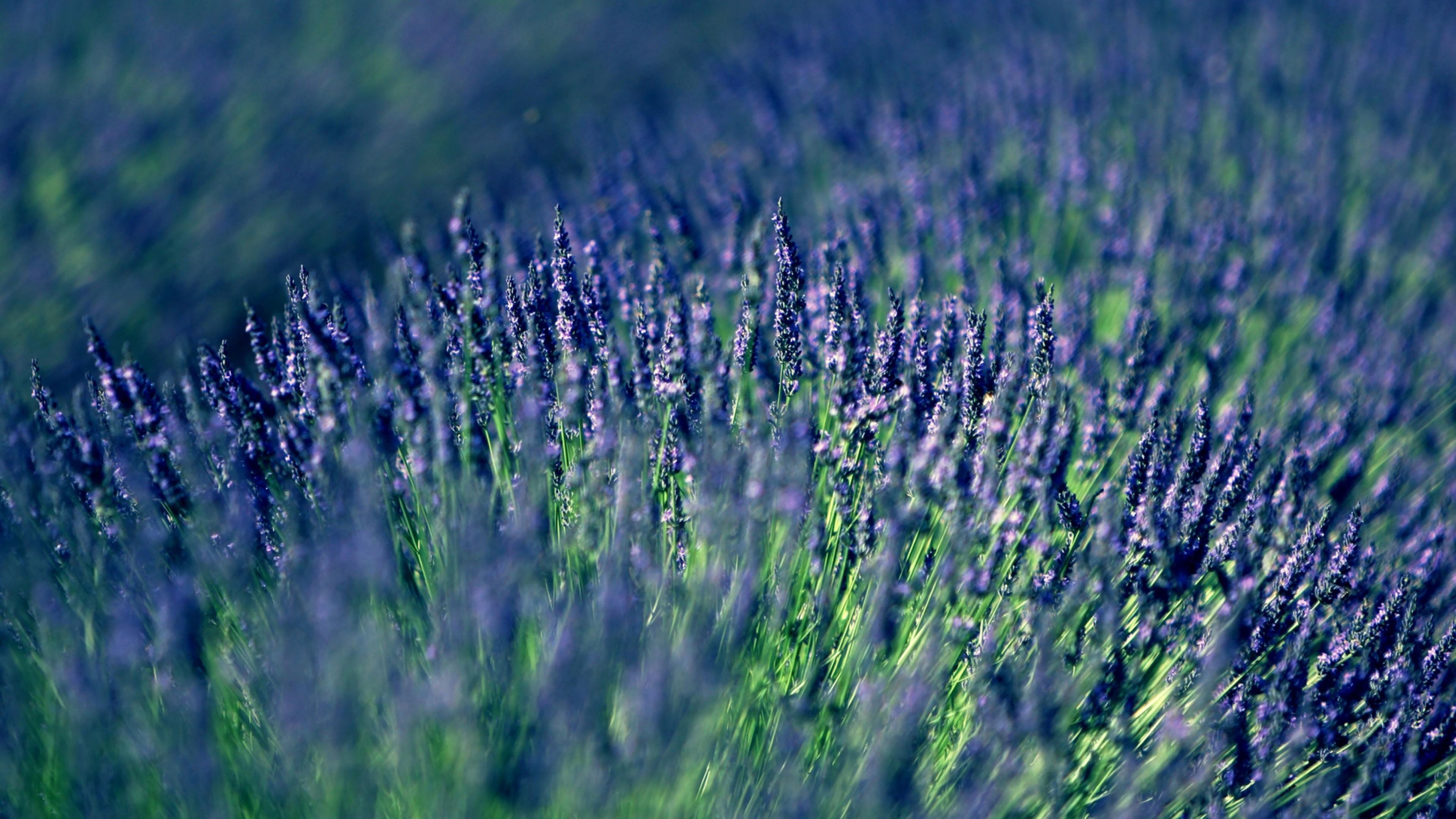 Wallpaper lavender, field, blur