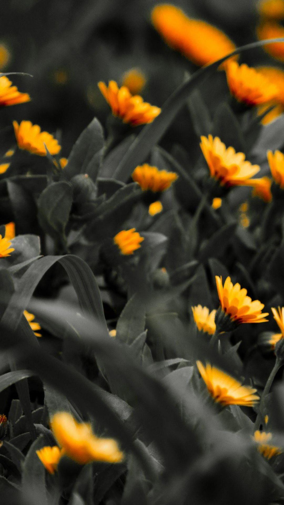 Orange Flowers Black White Photo iPhone 8 wallpaper