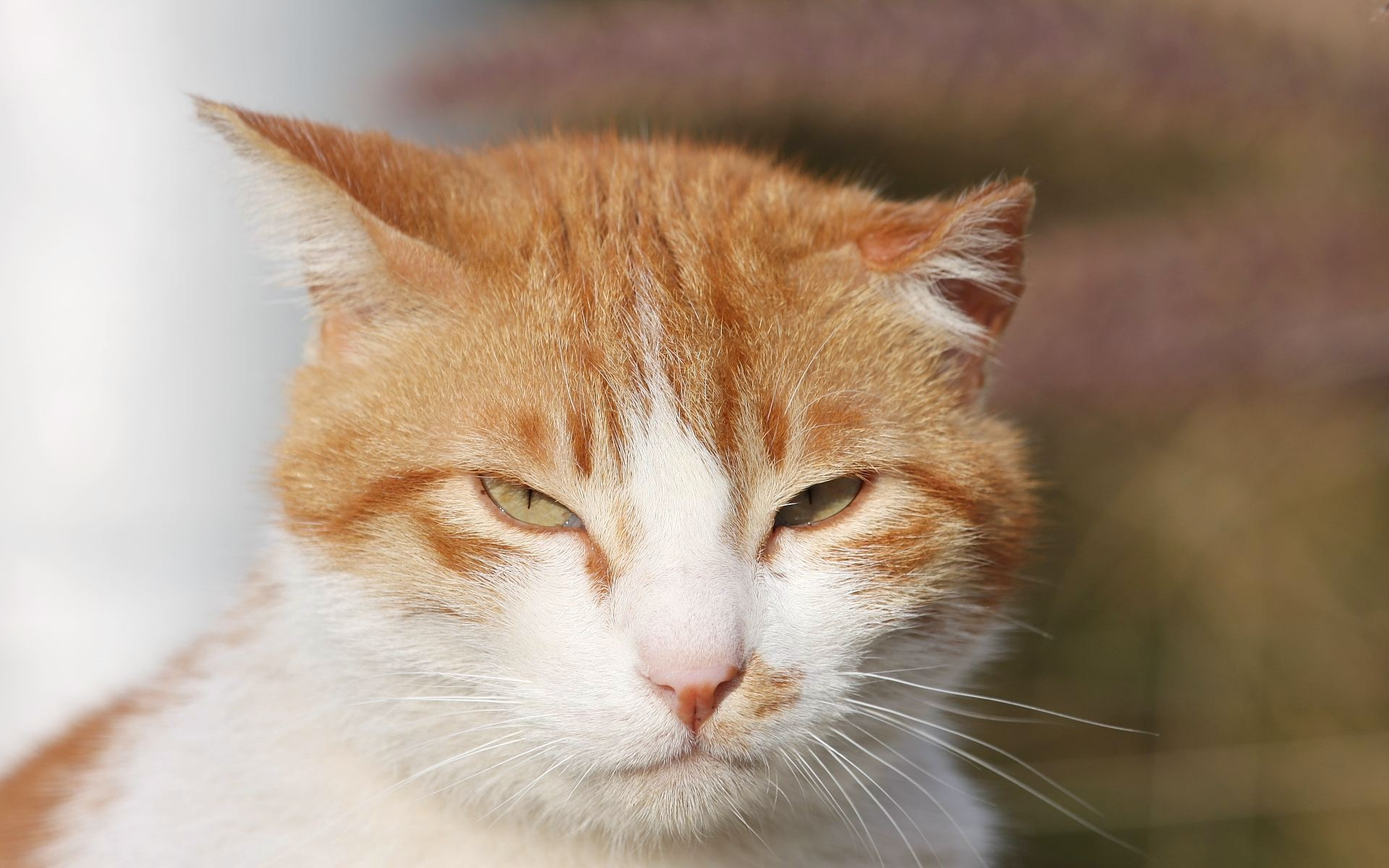 Sleepy Orange and White Cat wallpapers and stock photos