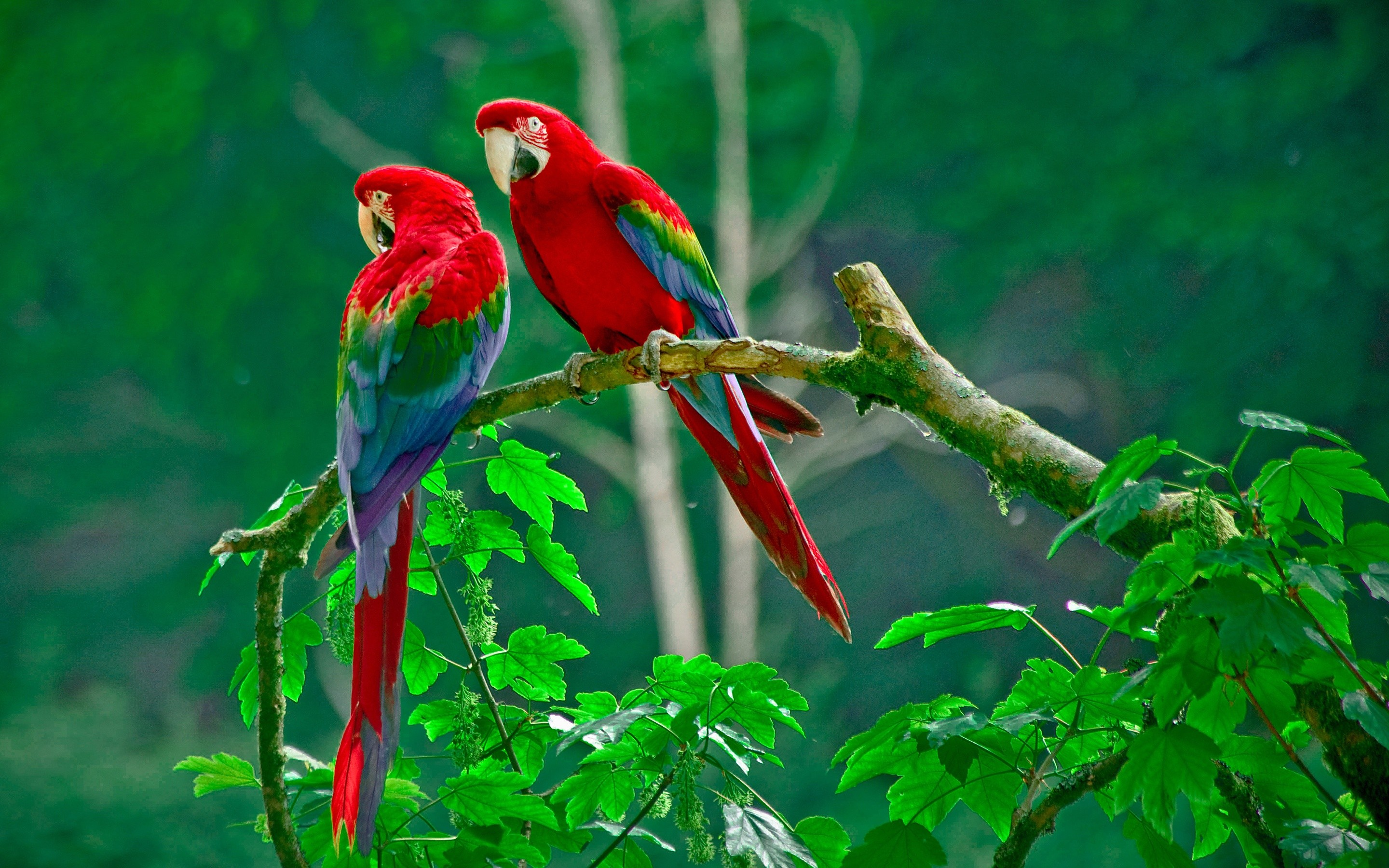 Macaw Red-and-green Macaw · HD Wallpaper | Background ID:686592