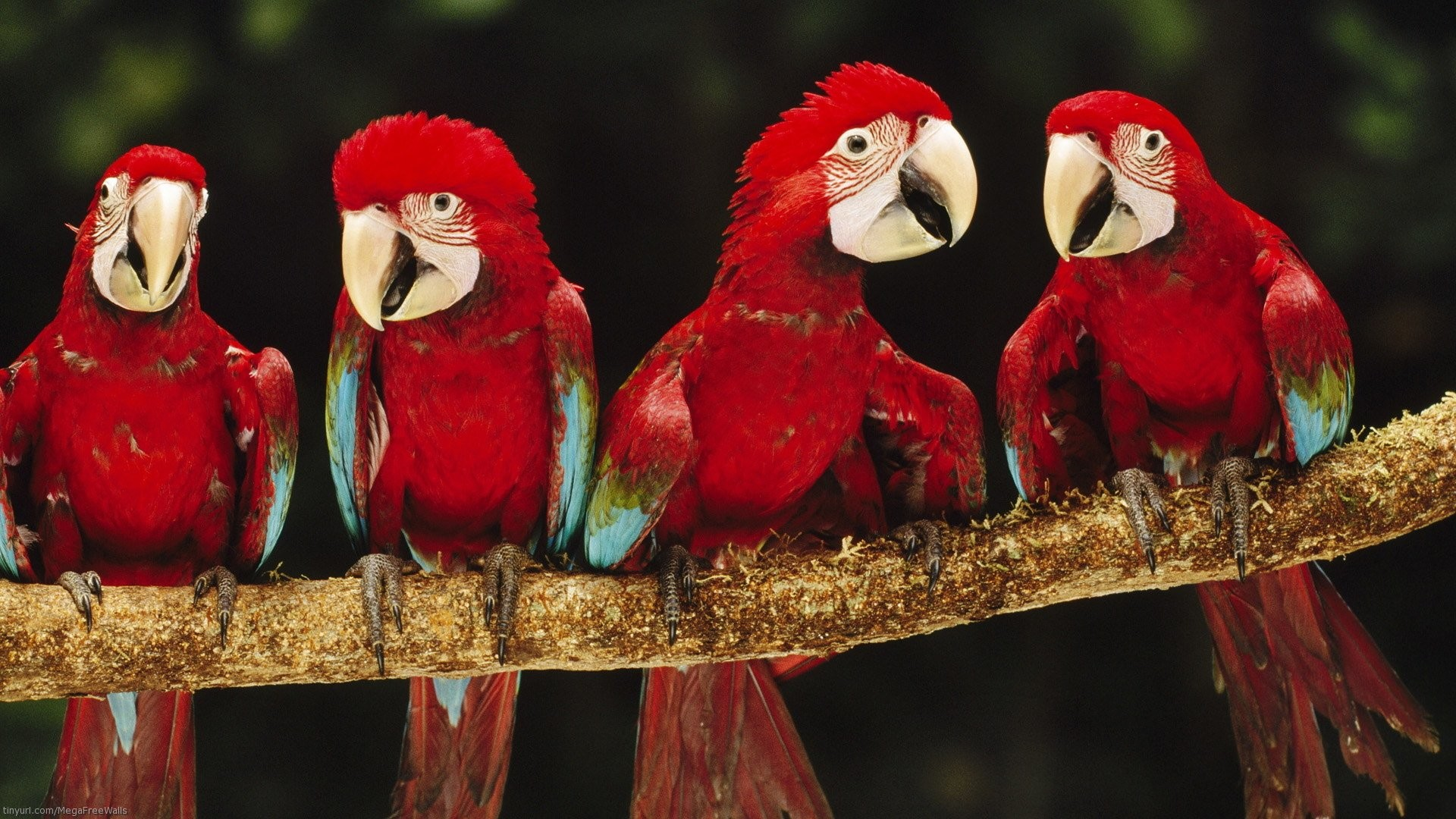 Animal – Red-and-green Macaw Bird Parrot Red Branch Animal Wallpaper