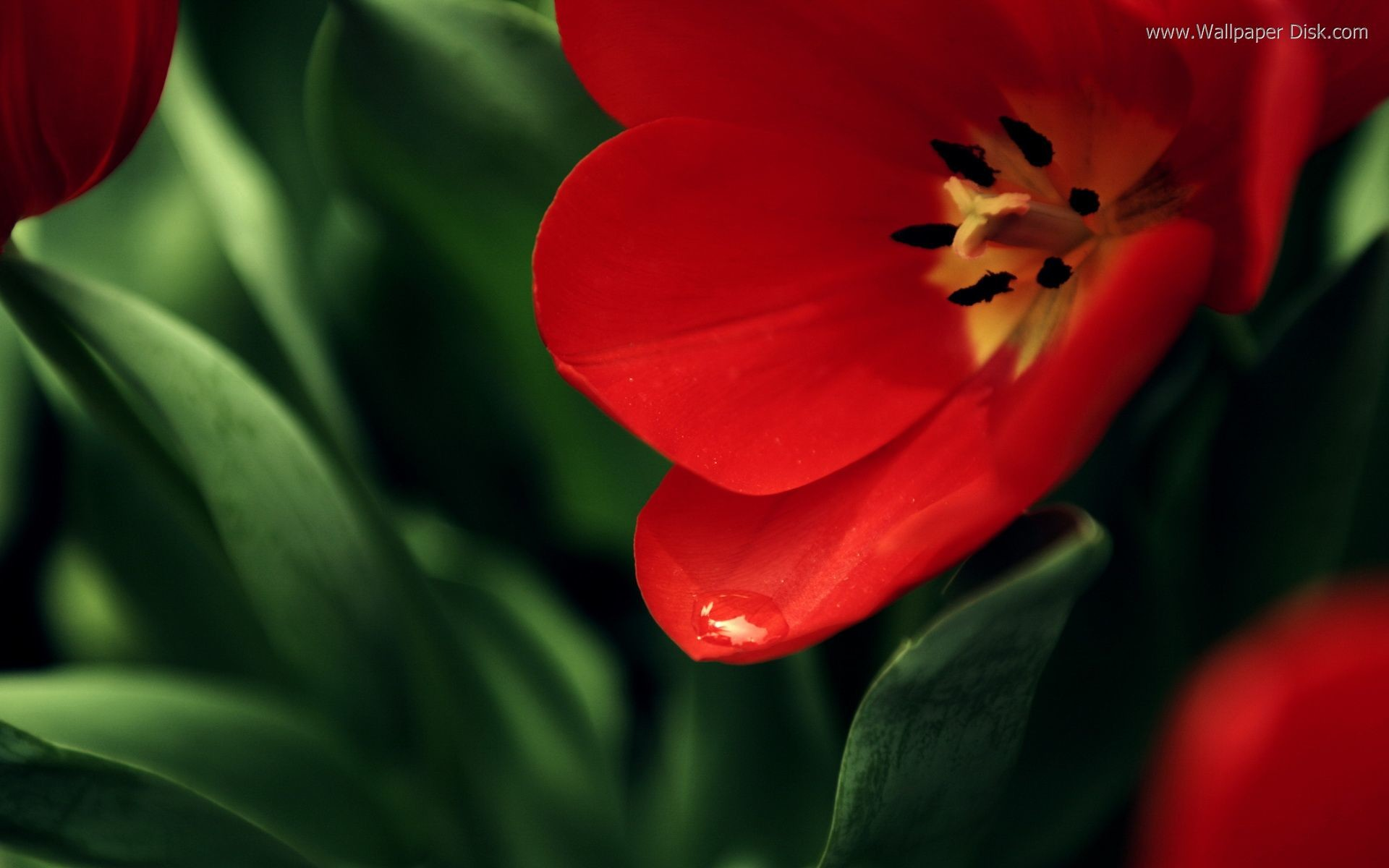This High Resolution Red and green flowers wallpaper below has been resized  to fit within this window, click on the wallpaper to see it at full size;  …