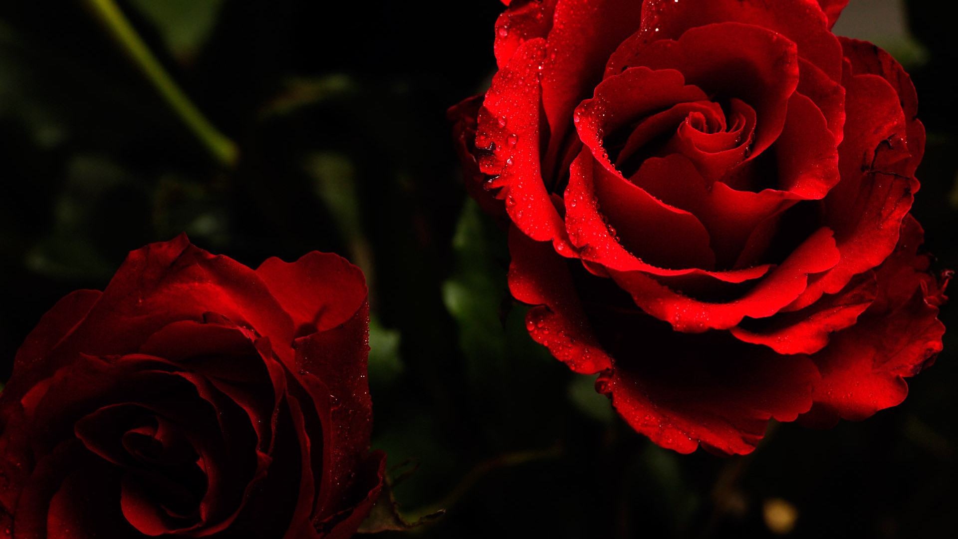 red roses on a dark background wallpapers and images – wallpapers .