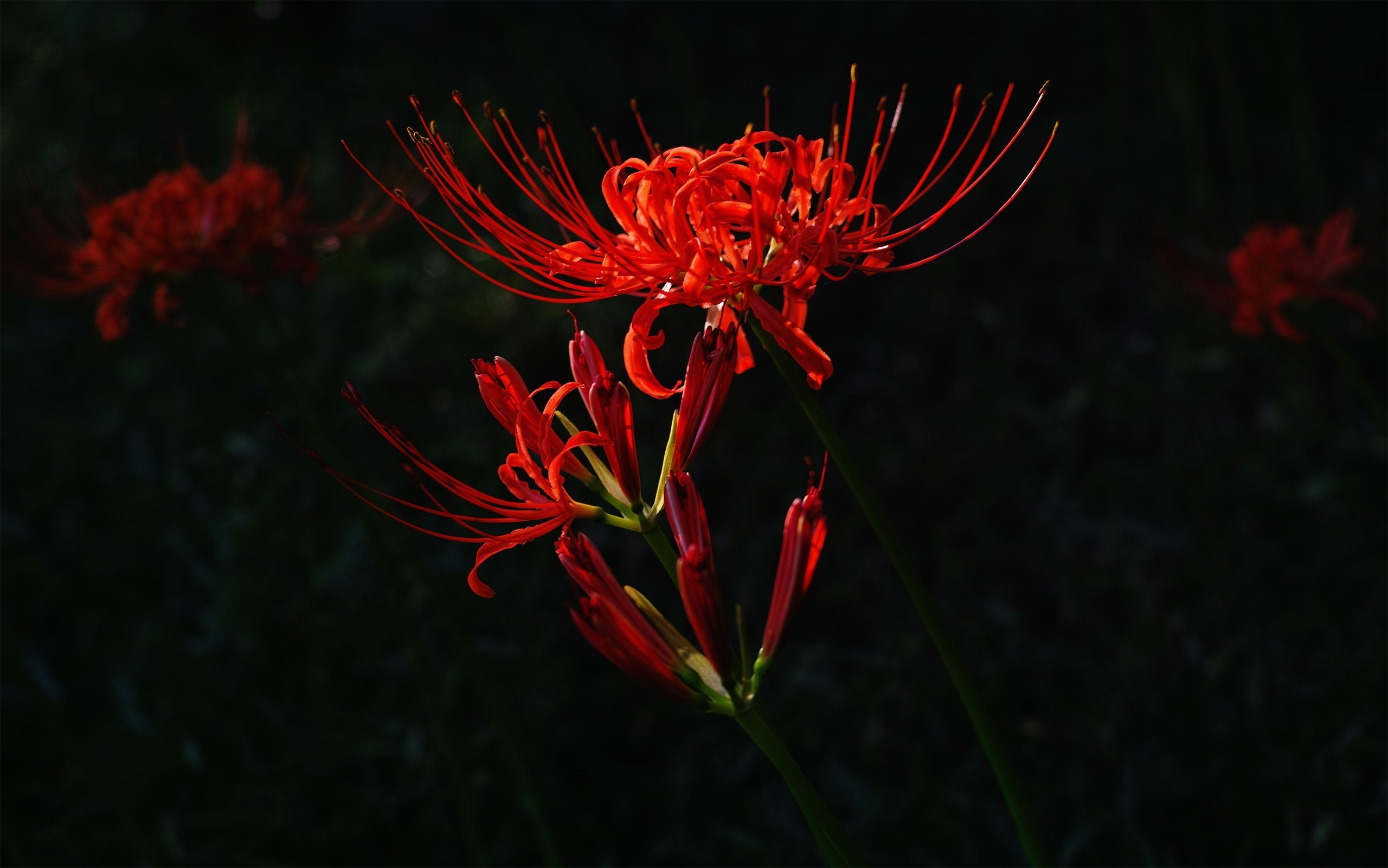 Red flower on dark background wallpapers and images – wallpapers .