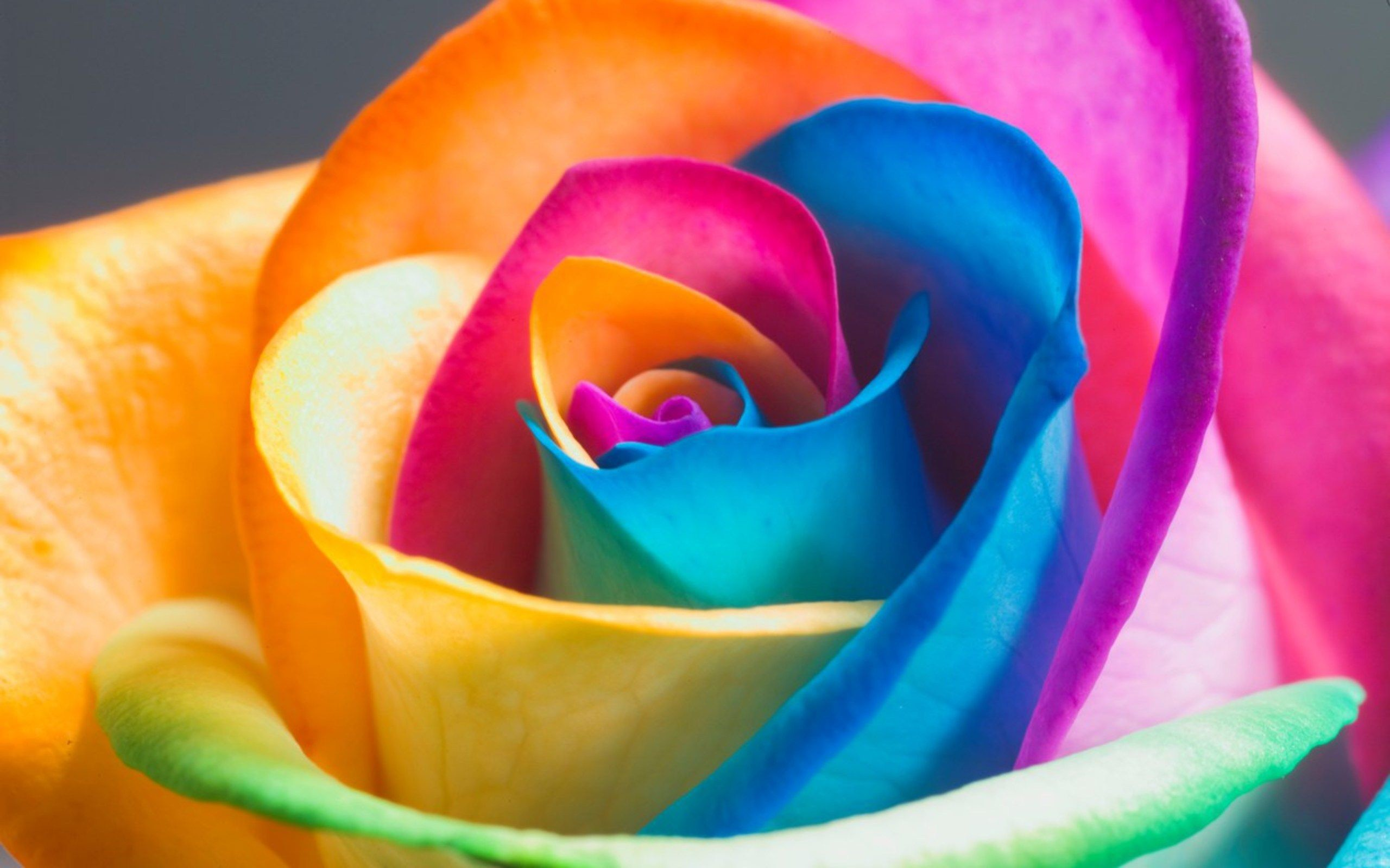 Garden plants Beautiful Rainbow Rose Seeds Multi-colored Rose seed – Decor  Home Ideas