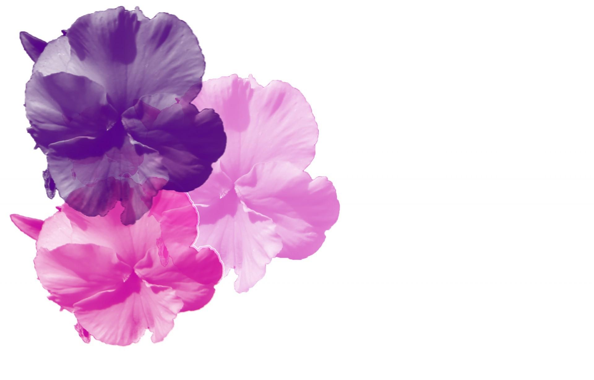Purple Pink Pansy Background