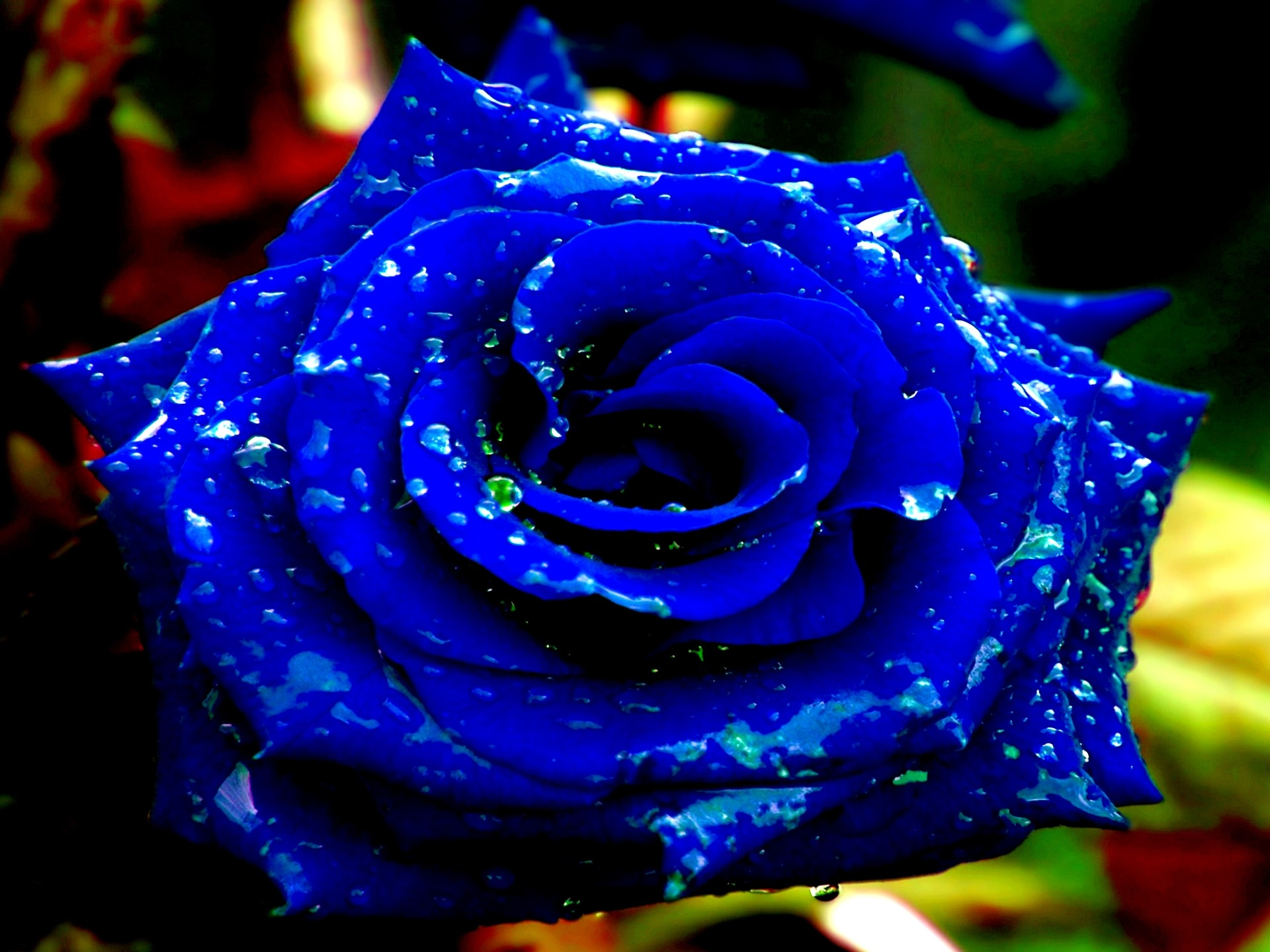 Blue Roses Wallpapers | Sizzlingwallpapers – Part 4