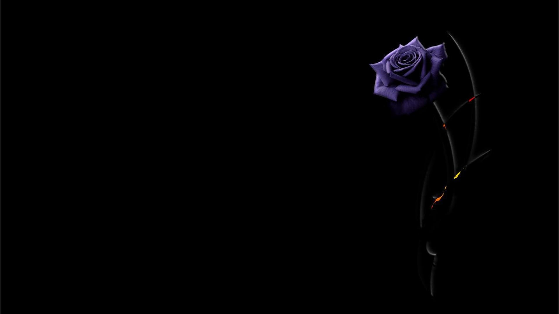purple rose on a black background wallpapers and images – wallpapers .