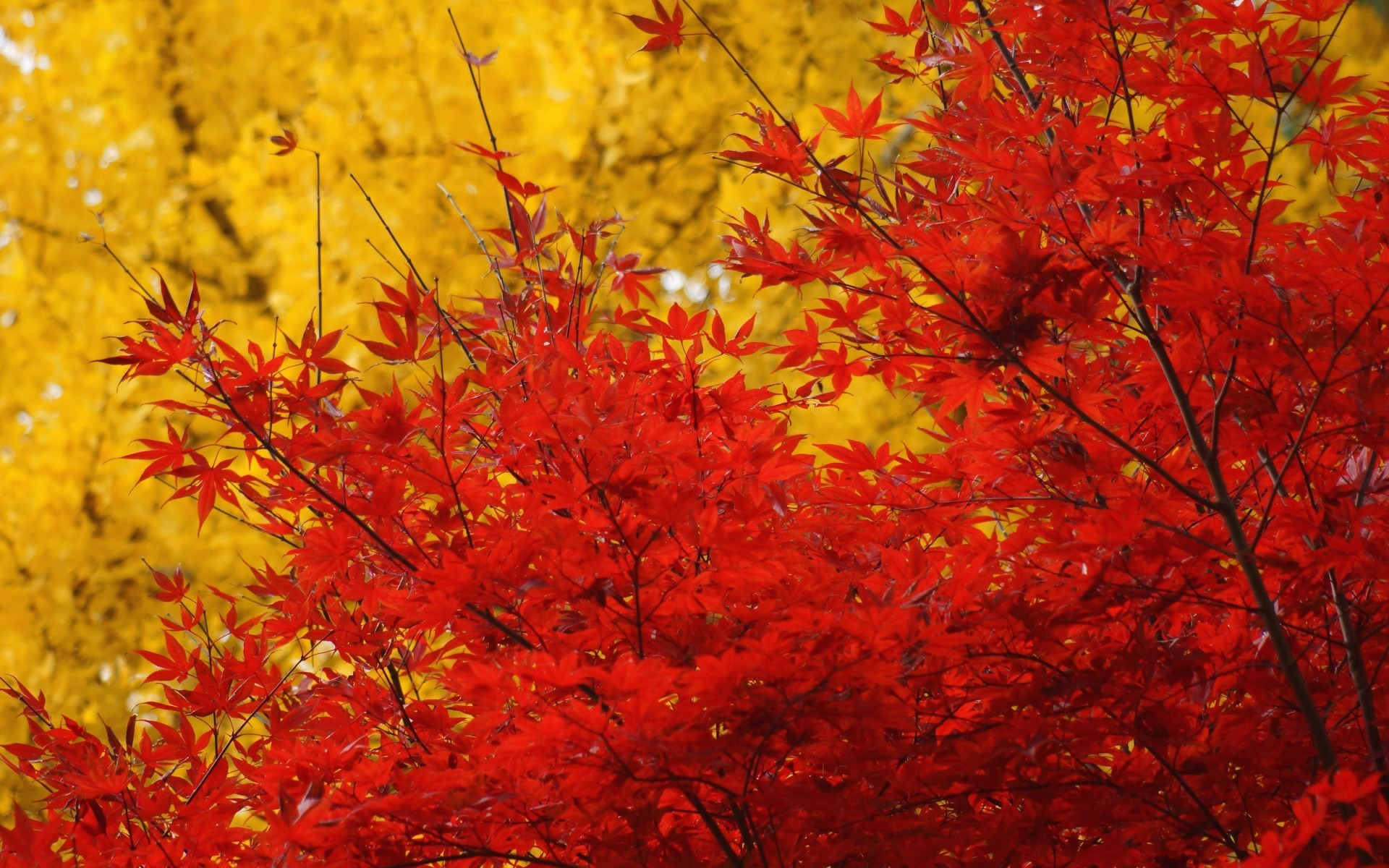 autumn trees crown leaves yellow red maple wallpaper   1920×1200
