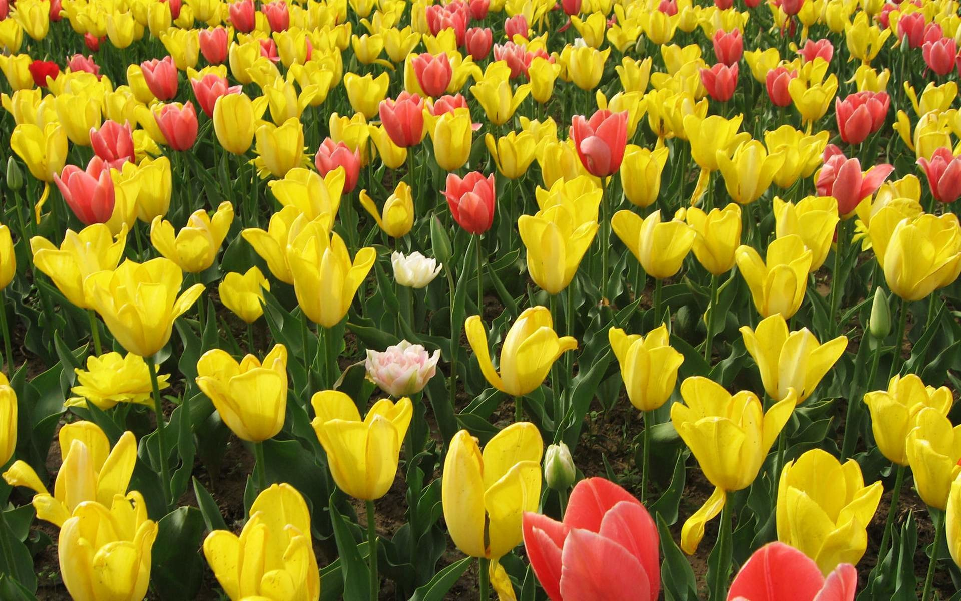 Yellow and Red Tulip Flowers 7321