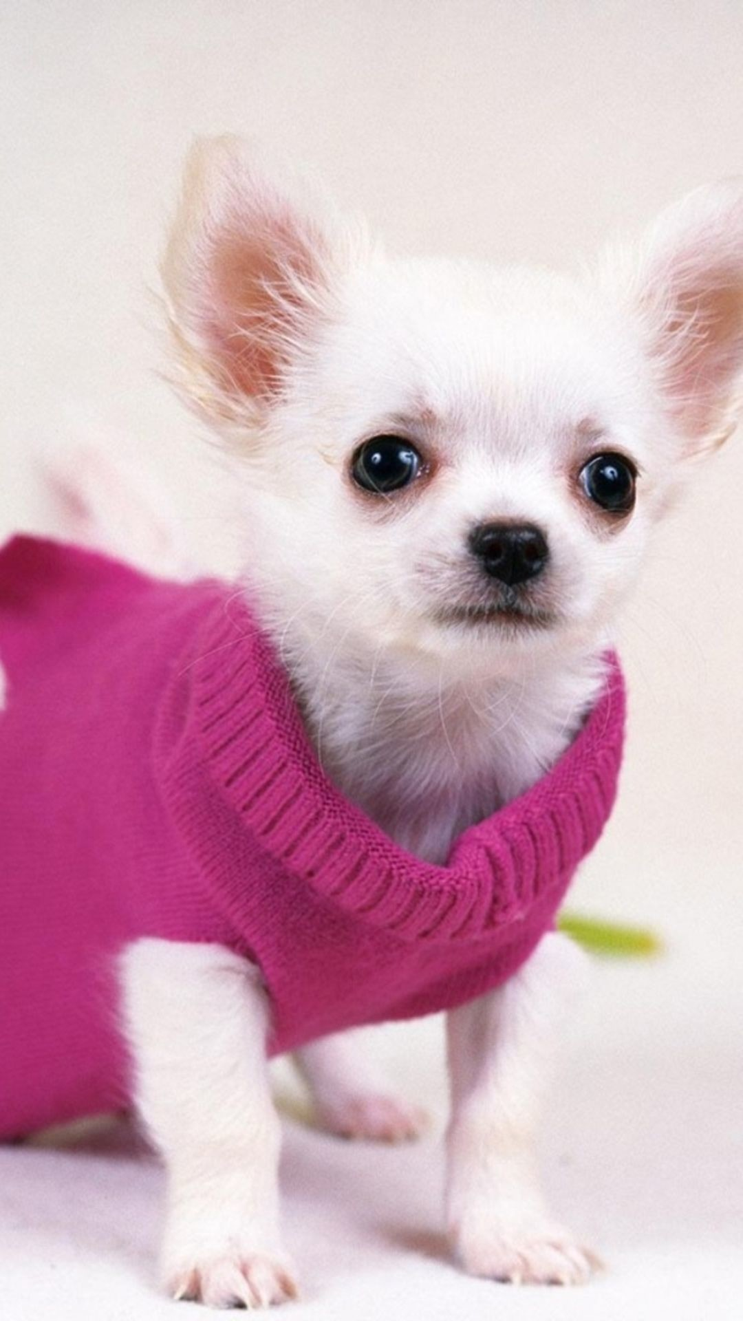 Cute Pretty Dog In Red Sweater iPhone 6 Wallpaper Download .