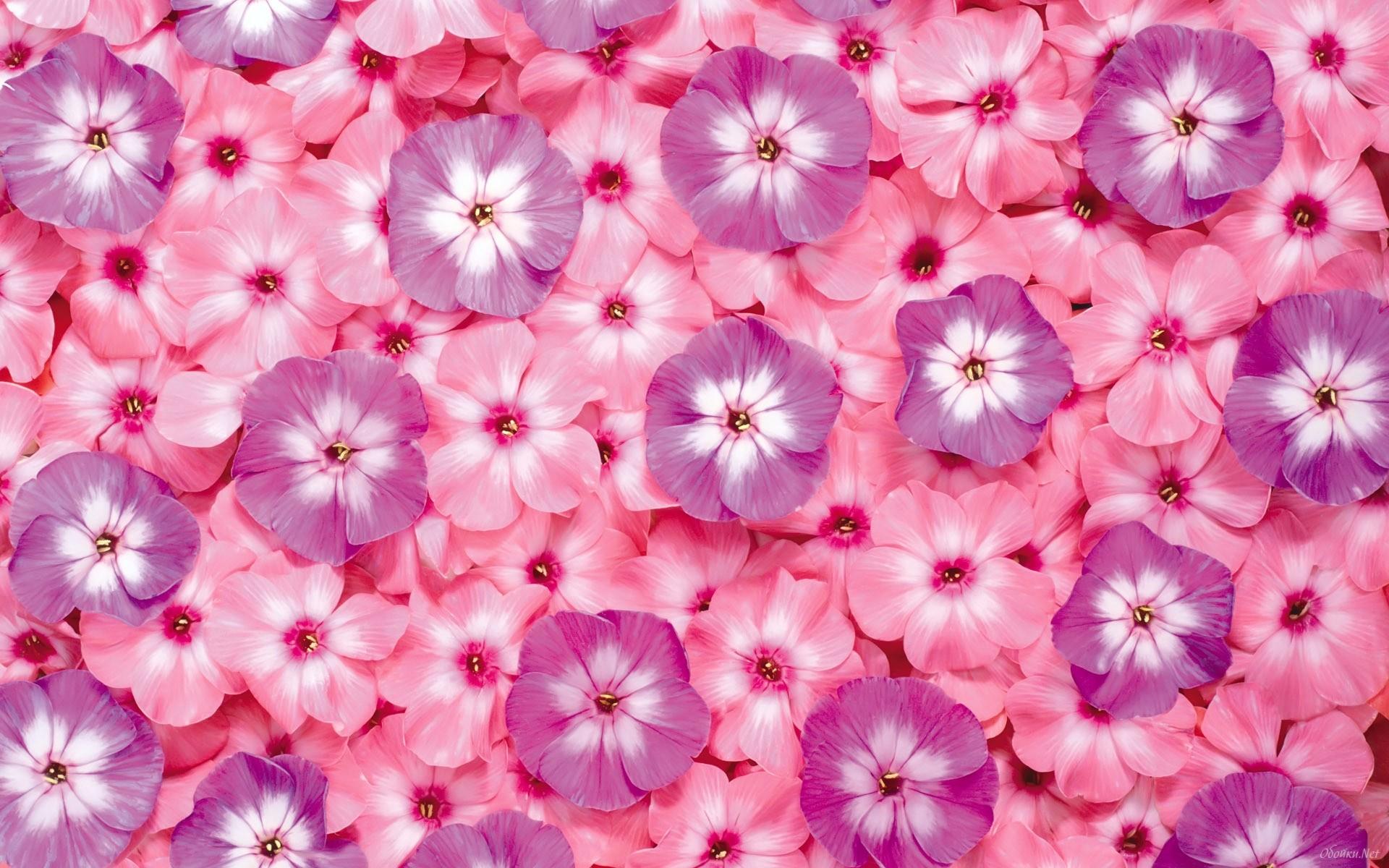 Pink flowers wallpaper HD Desktop Wallpaper