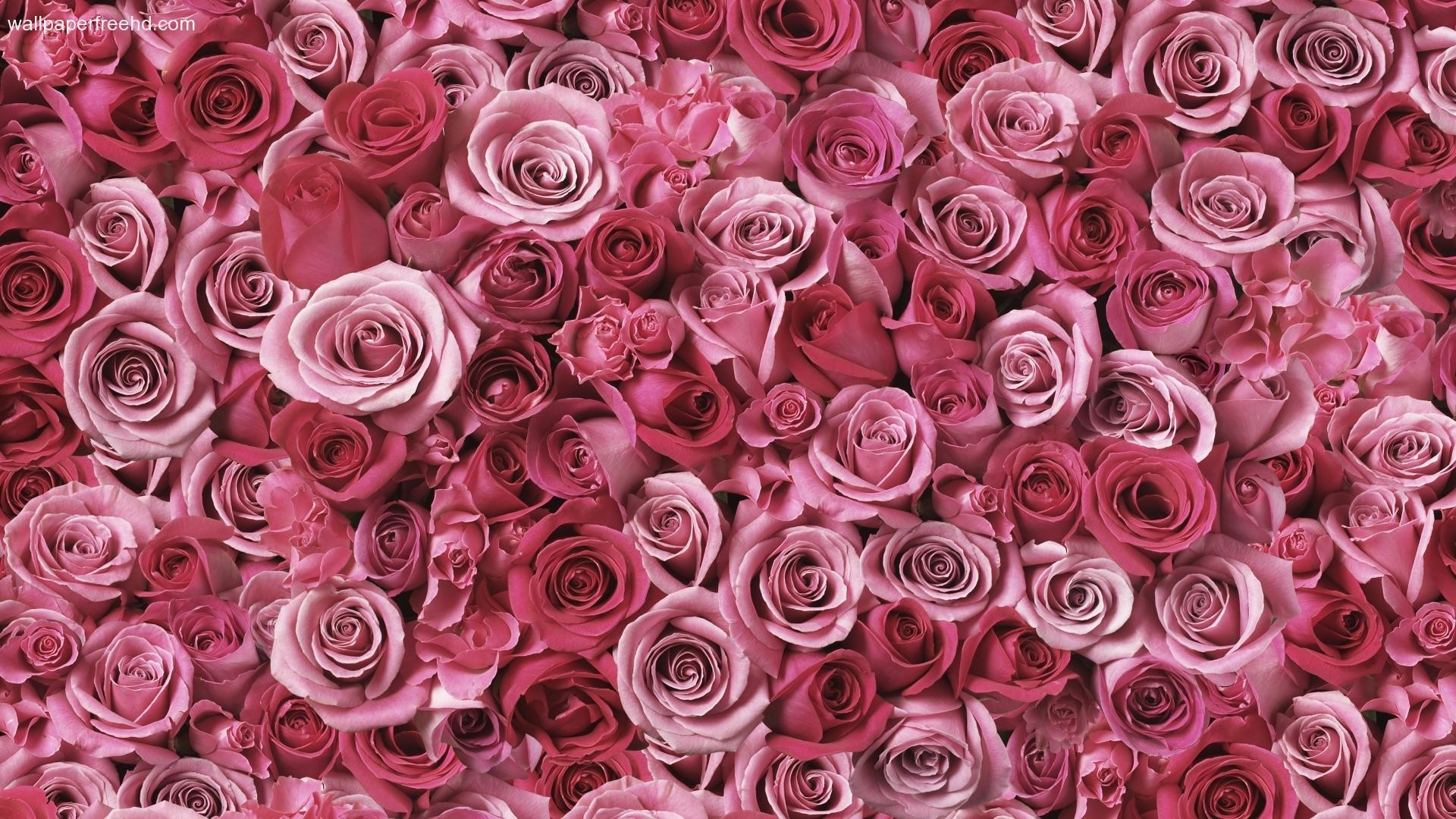 Pink Roses Wallpaper HD   Free Download Wallpaper Desktop Backgrounds