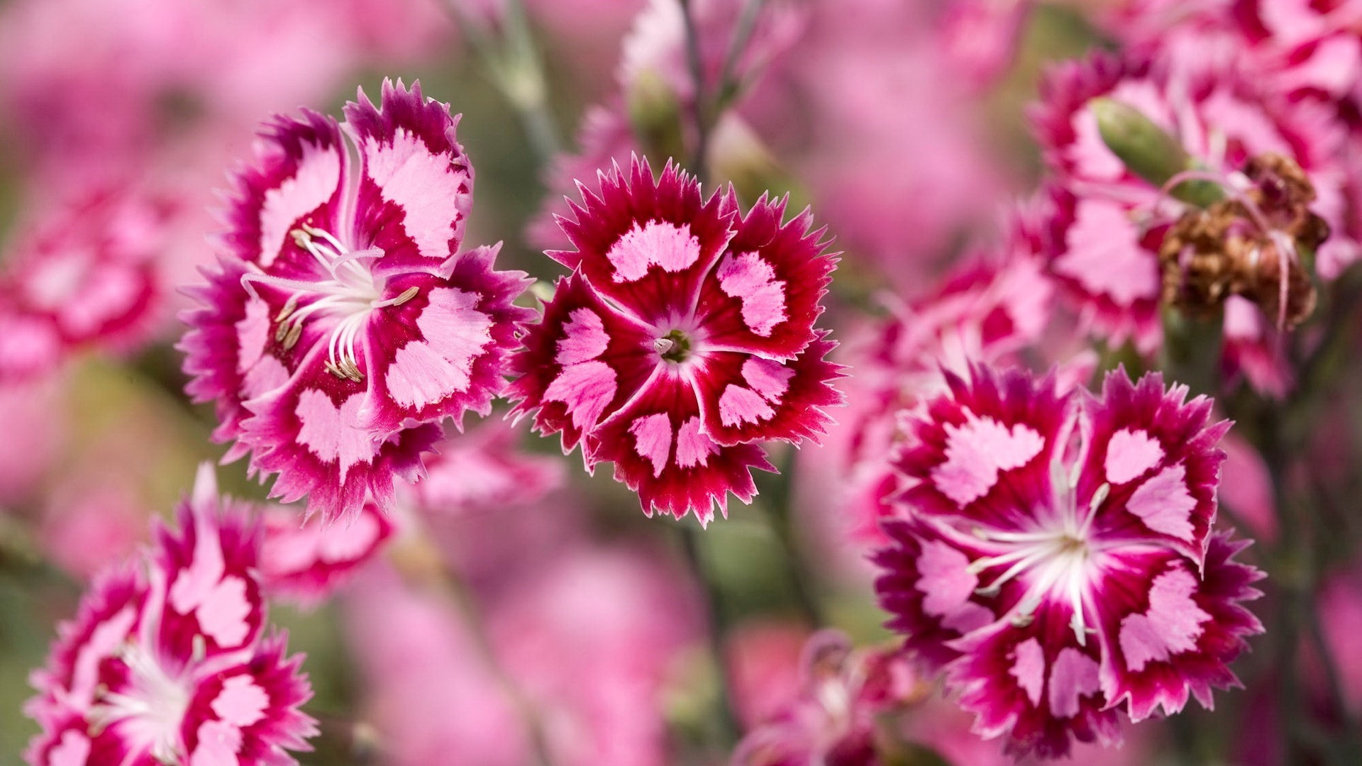 Beautiful Pink Flowers Desktop Wallpapers Hd Wallpapers