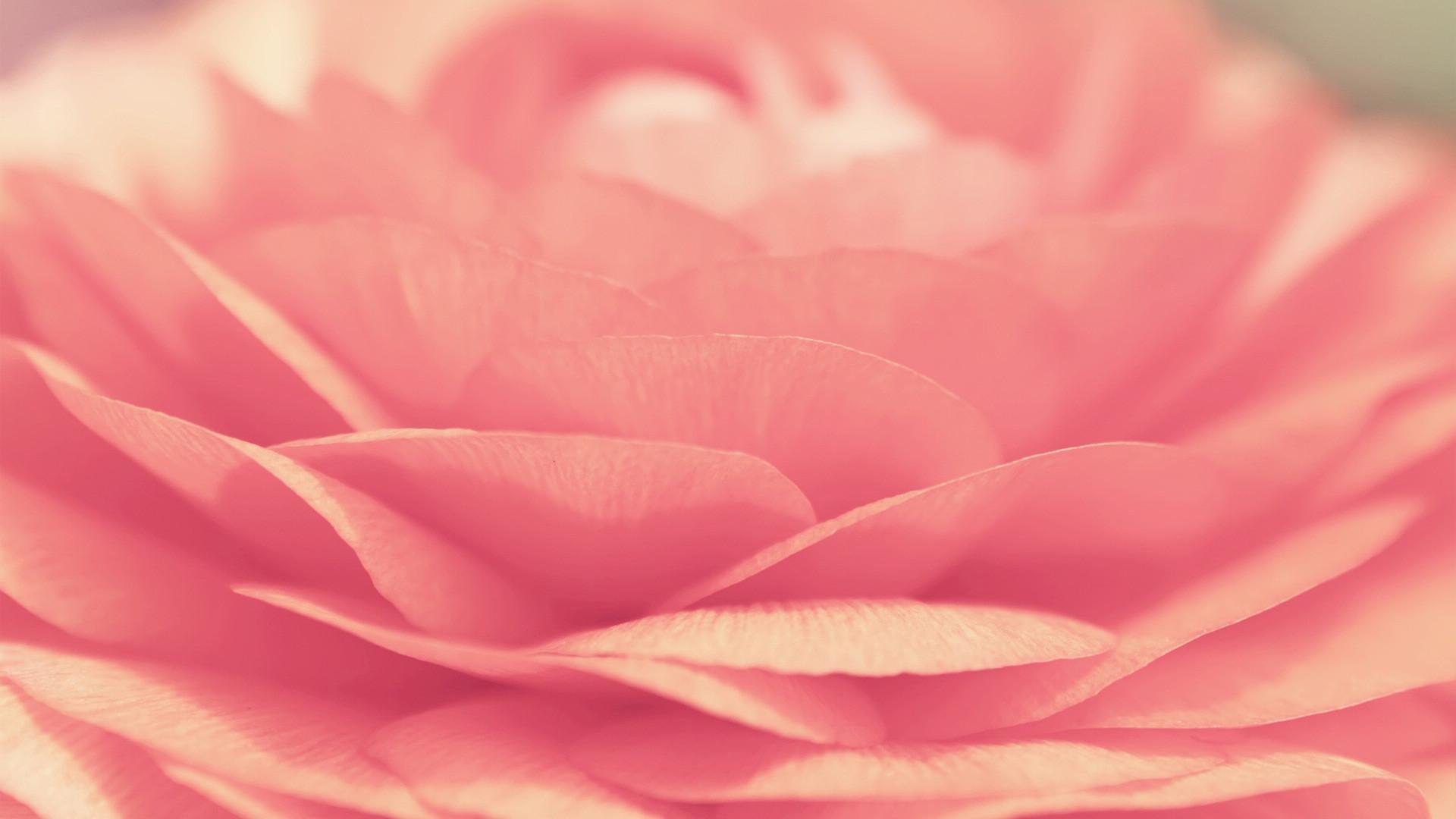 Pink Rose desktop PC and Mac wallpaper