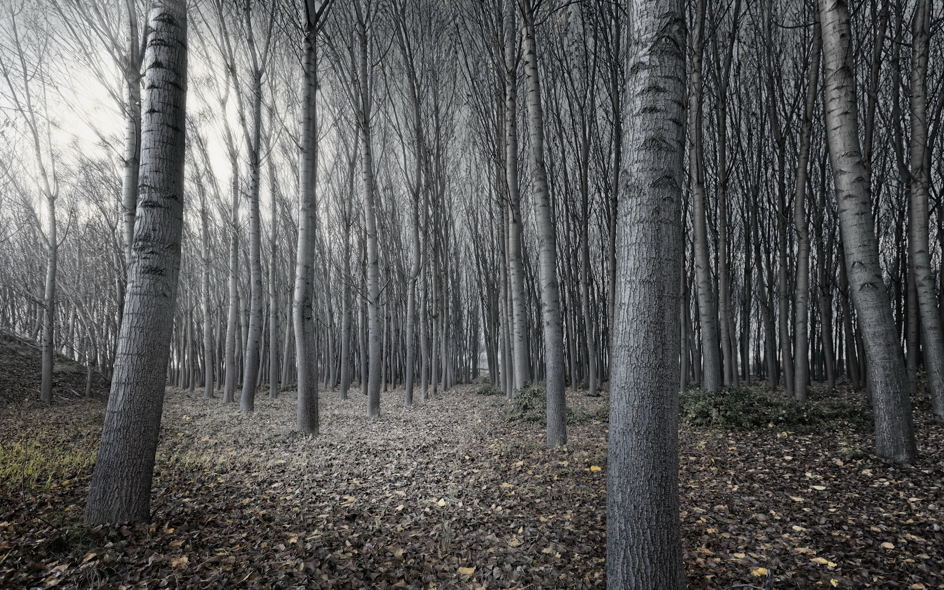 Black And White Tree Forest