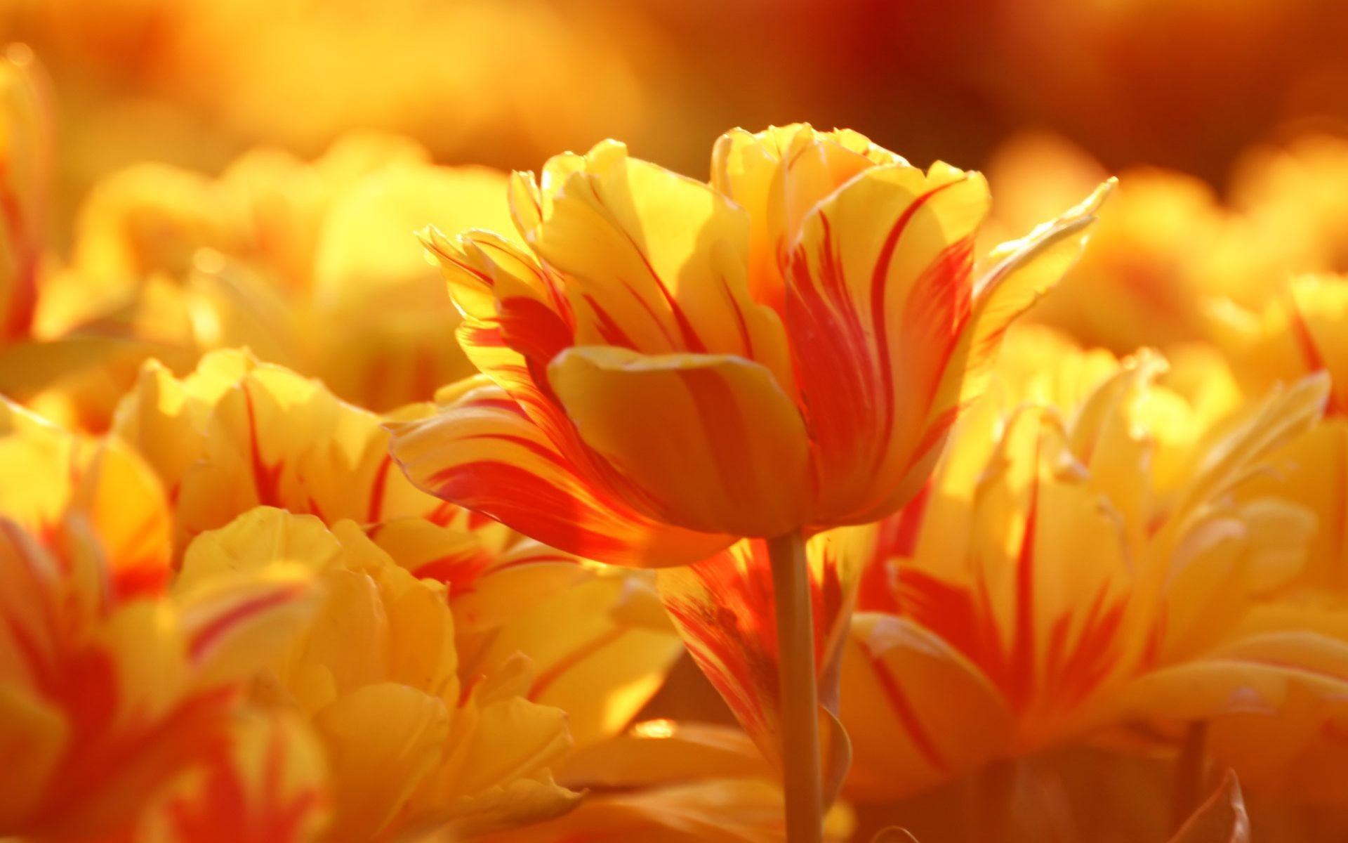 Free Orange Tulips computer desktop wallpaper