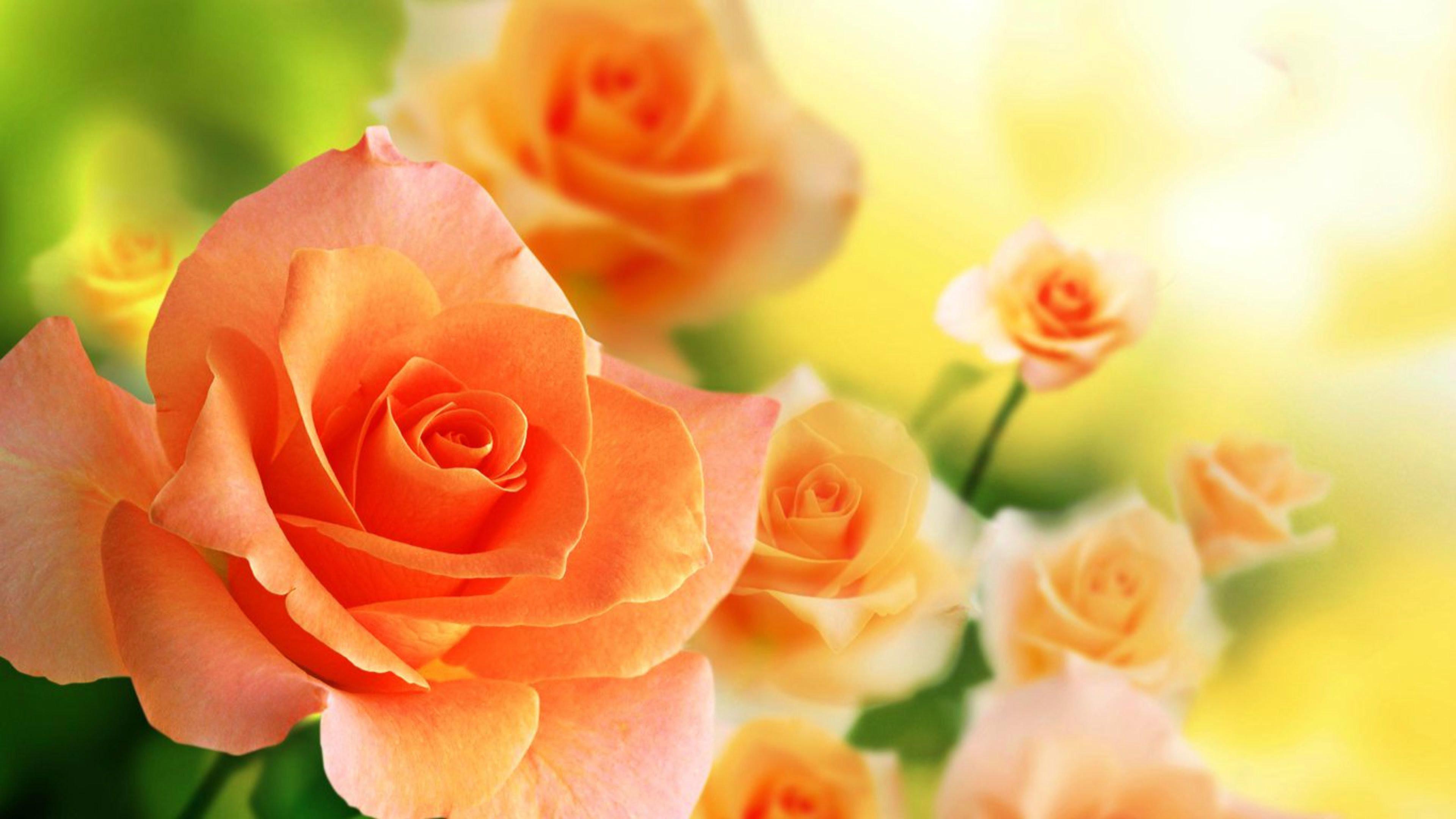 Full HD 1080p Orange Rose Wallpapers
