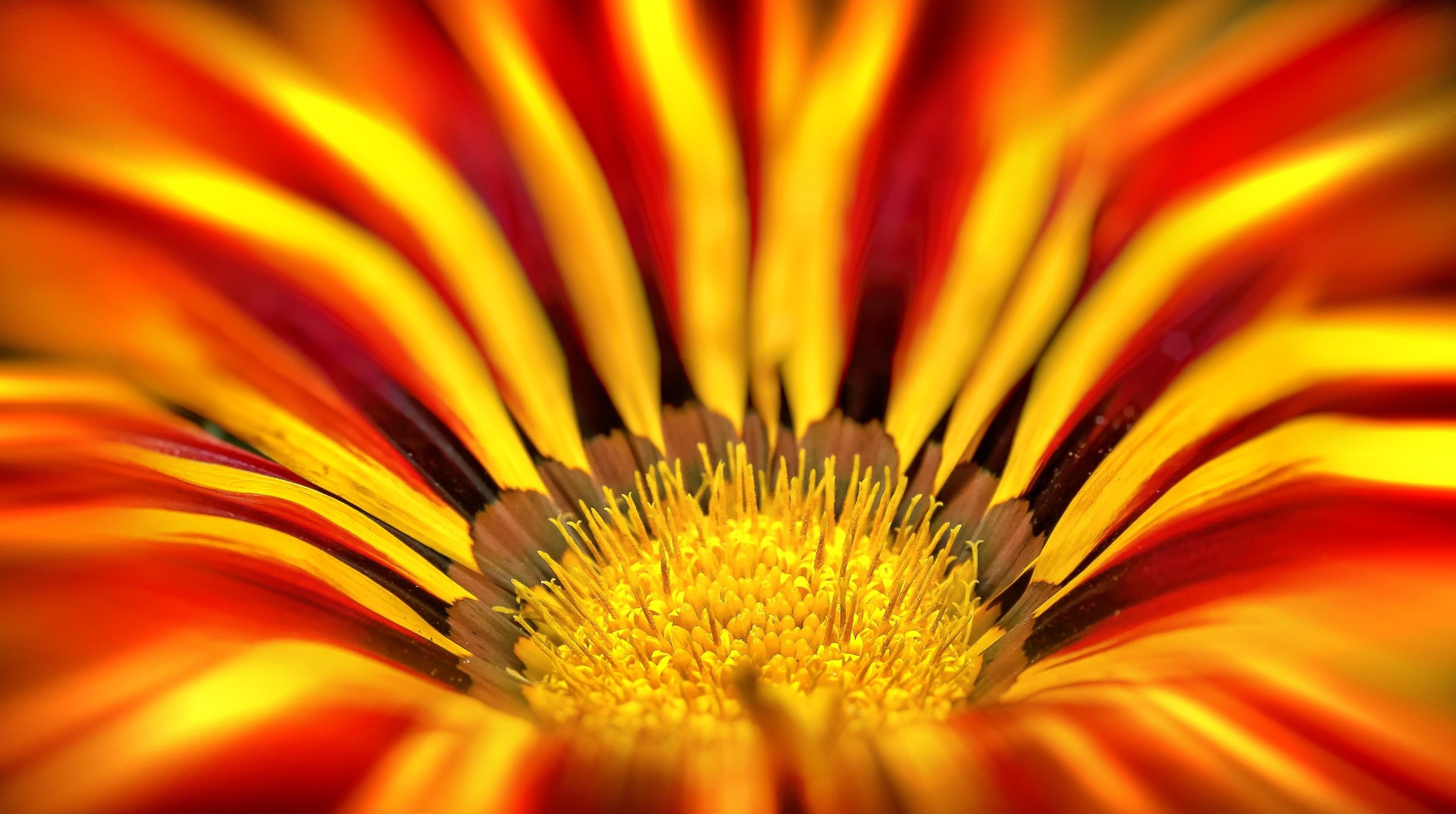 orange and beige gazania flower preview