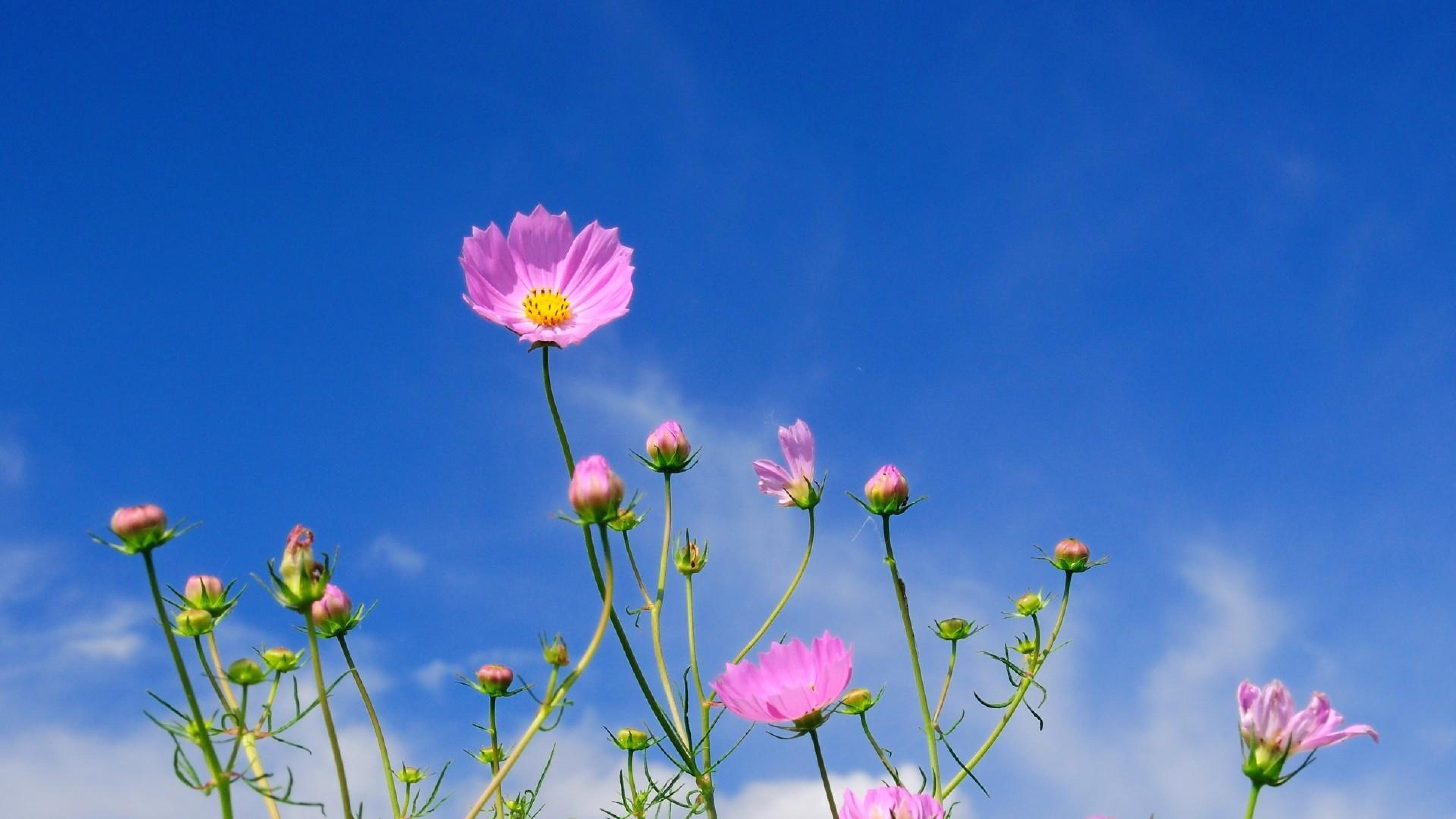 Wallpaper kosmeya, flowers, sky, blue, clouds