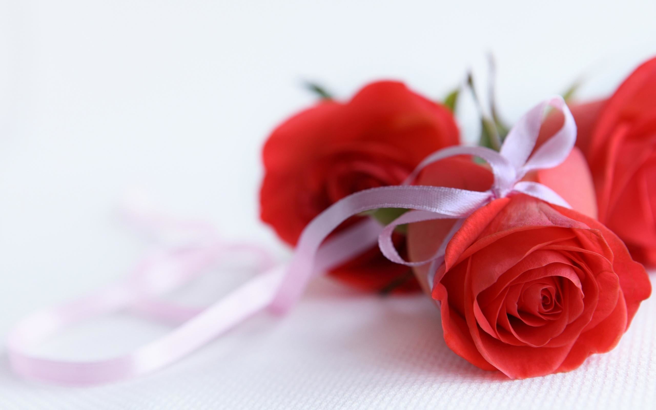 Red Roses On White Background HD desktop wallpaper : High Definition :  Fullscreen : Mobile
