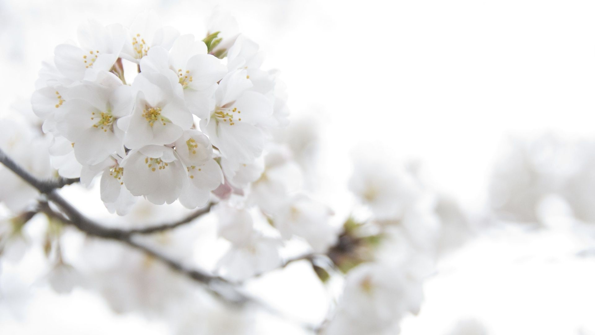 Backgrounds of White Flowers   1920×1080