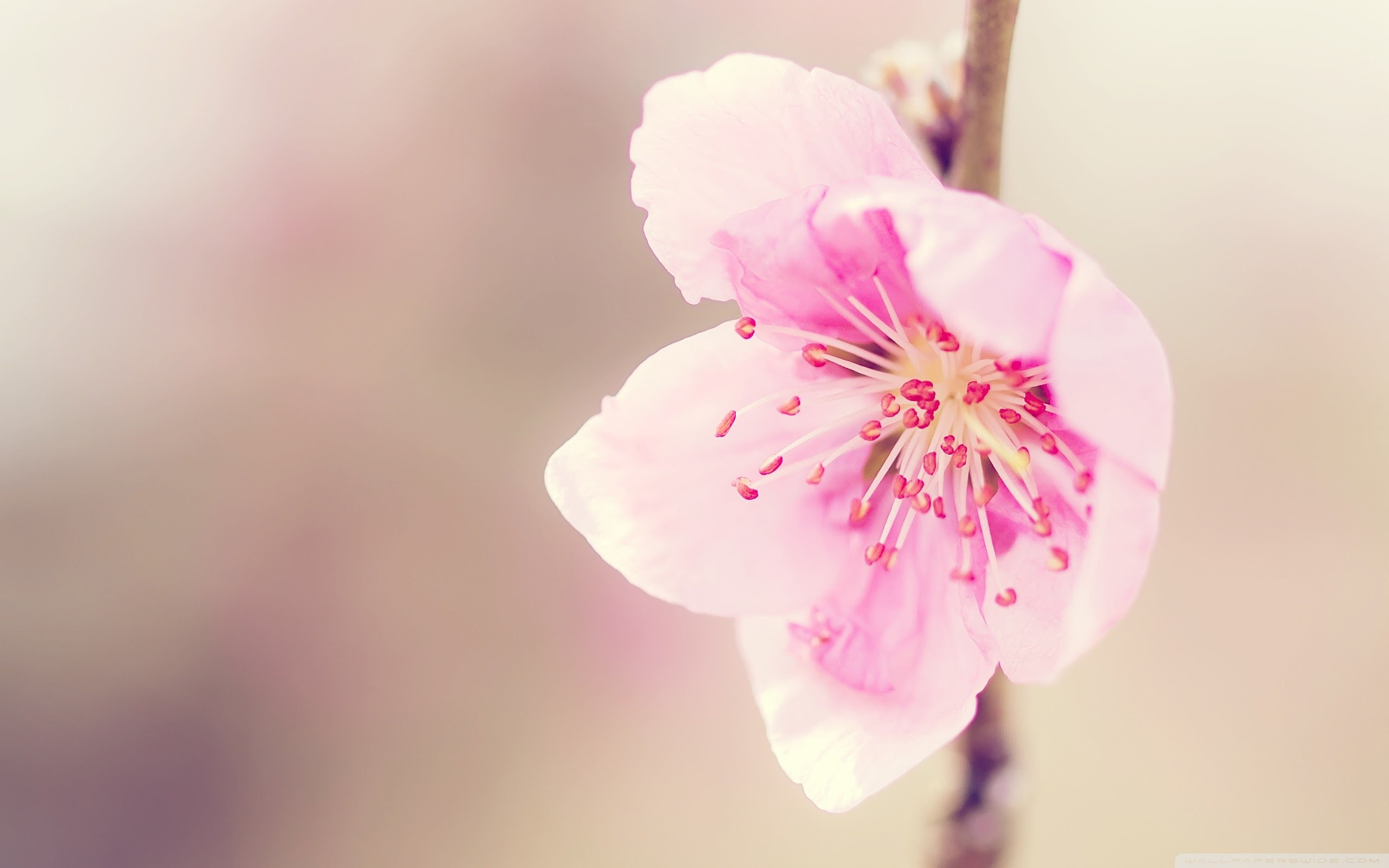 … Amazing-Pink-Peach-Flowers-Wallpapers-HD-Pictures …