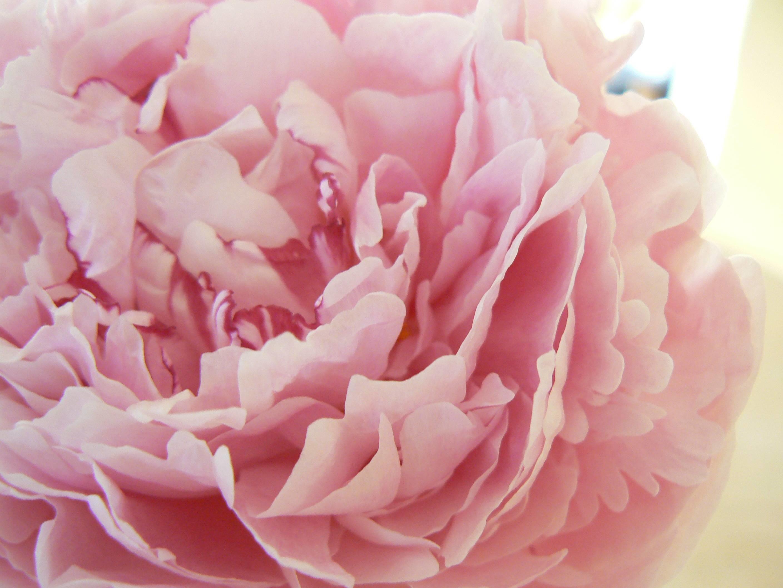 HD Pink Peony Wallpaper free download / Wallpaper Database