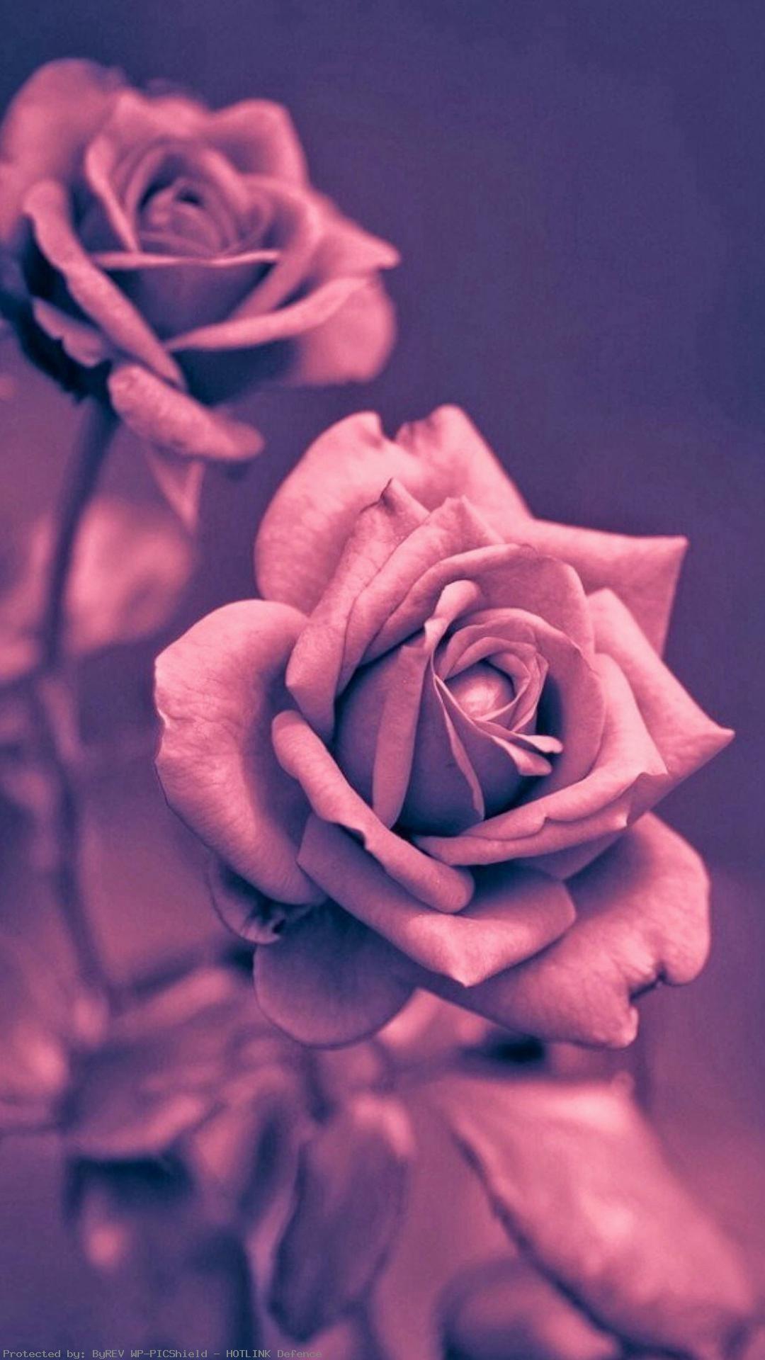 Beautiful-Pink-Rose-Closeup-iPhone-wallpaper-wpc9002724