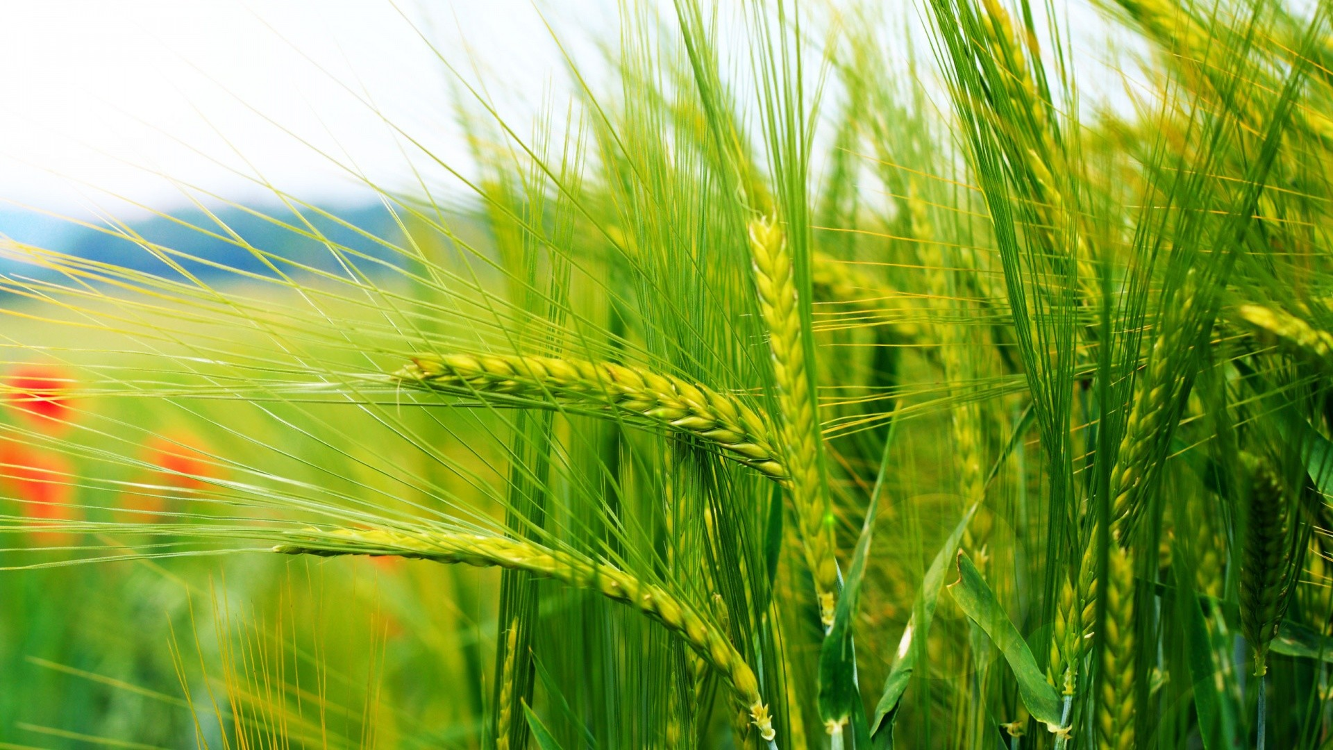 RESEARCH WHEAT
