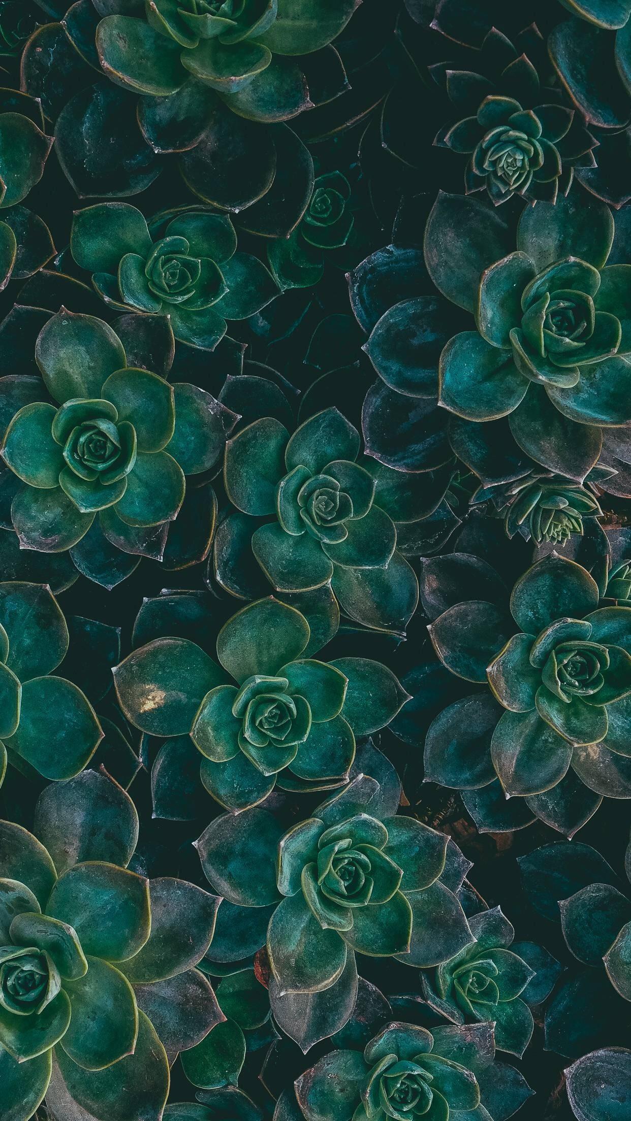 Green Succulents ||. Phone BackgroundsWallpaper BackgroundsIphone WallpapersDark  Wallpaper IphoneMobile WallpaperNature WallpaperIphone …